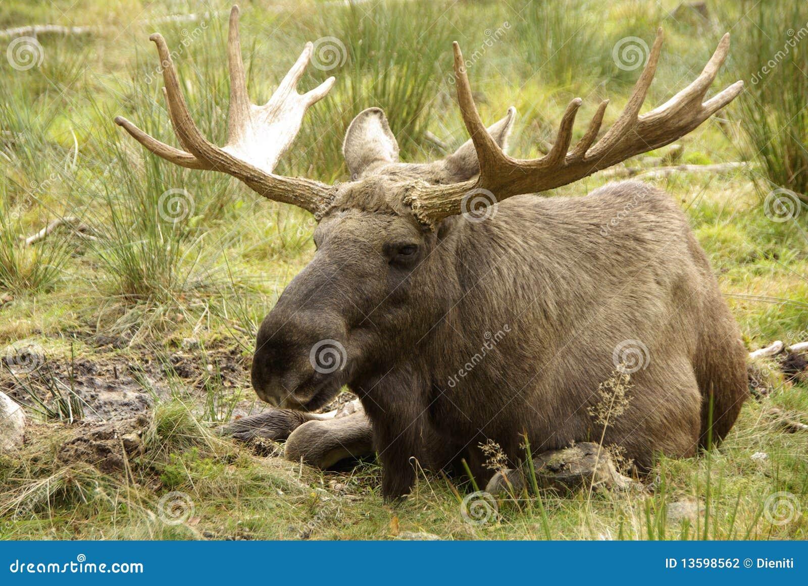 Bull eines Elchs