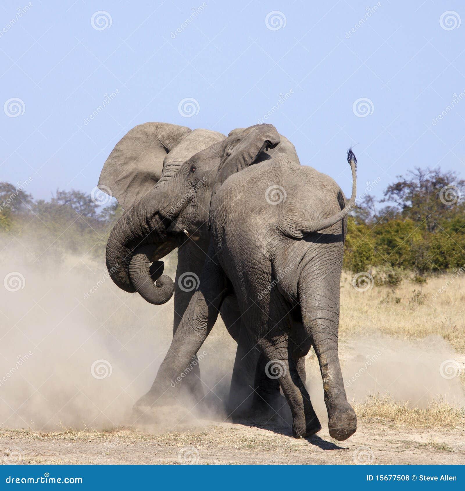 Bull Elephants Fighting - Botswana