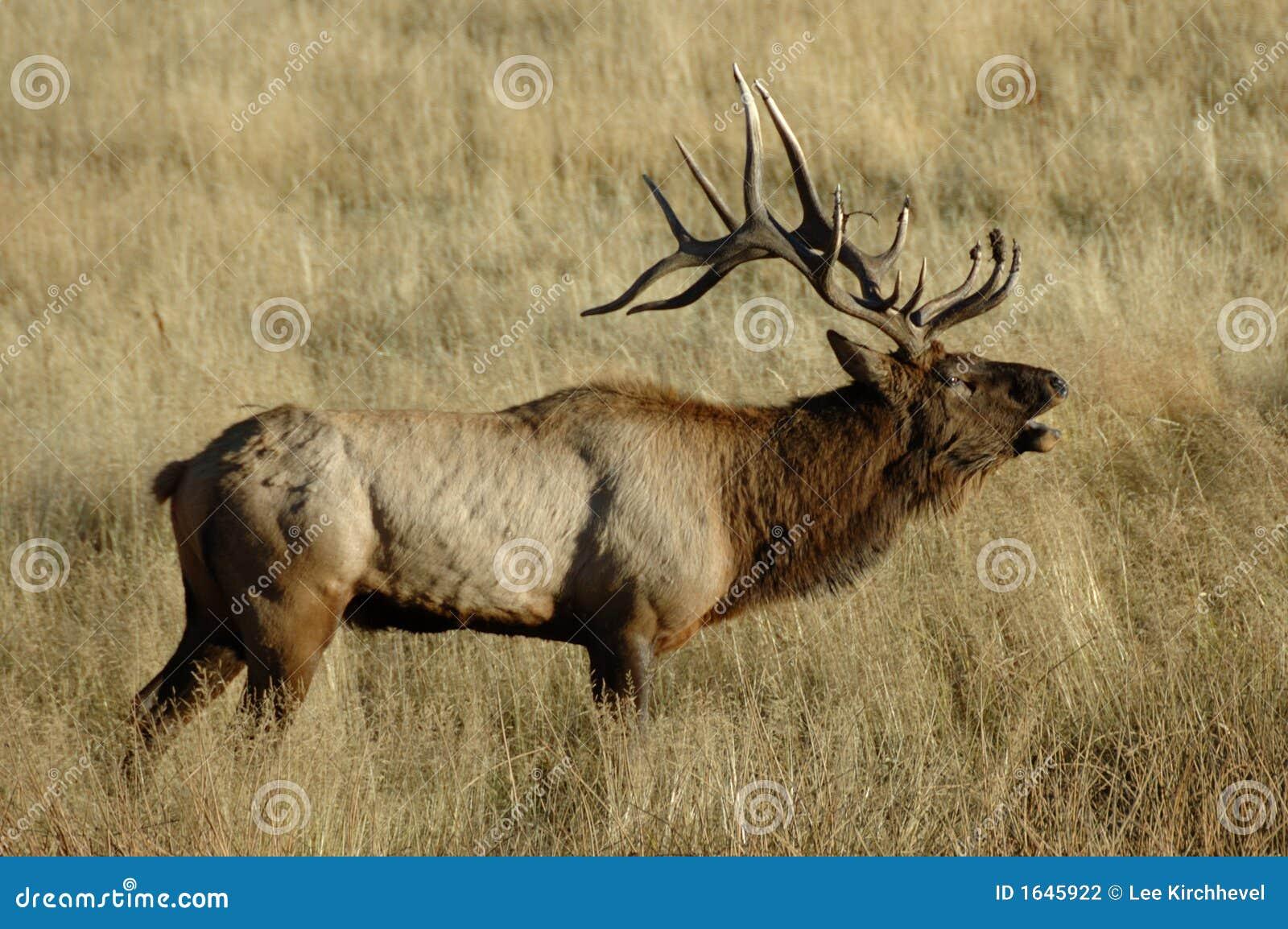 Bull Elk Bugling 2
