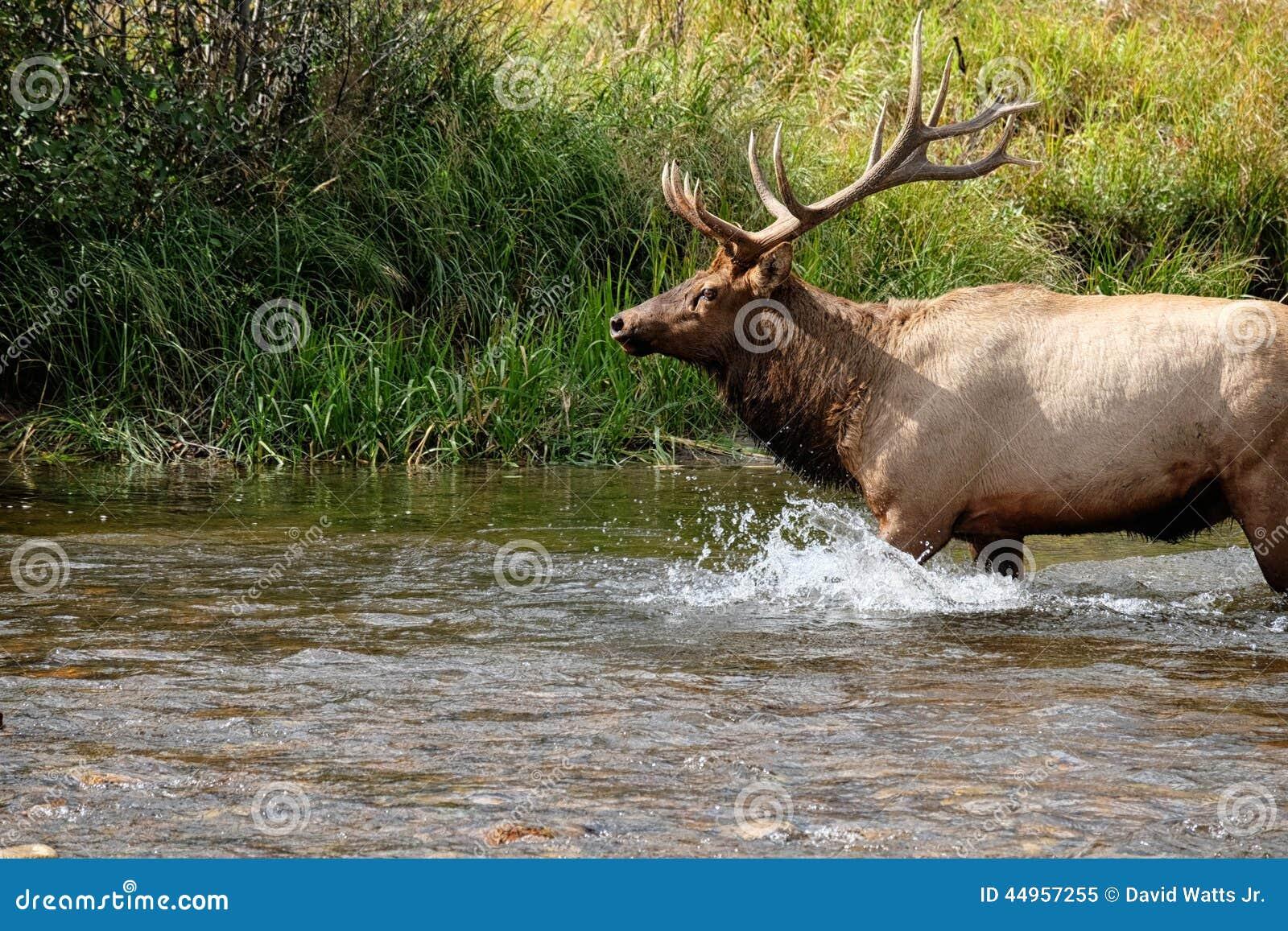 Bull Stream