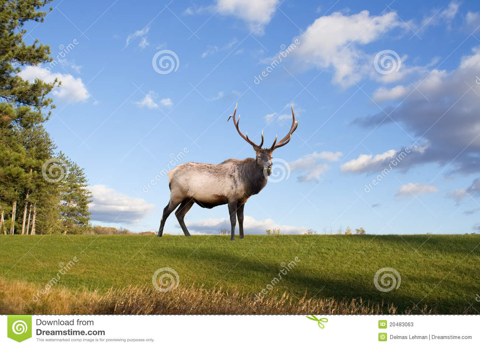 Bull Elk on Grassy Hillside