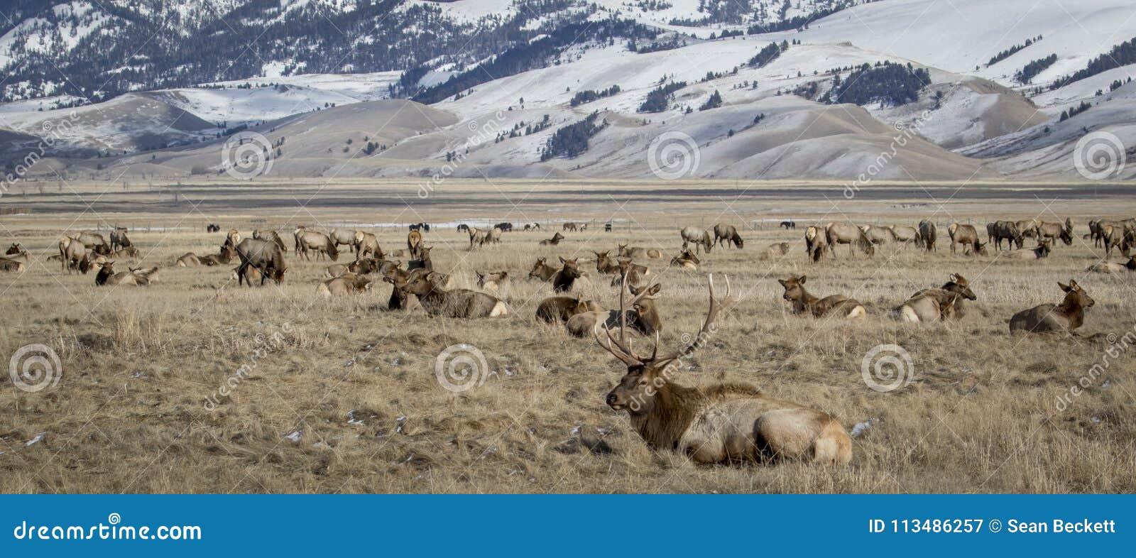 Bull elk and elk herd in national elk refuge in yellow grassland