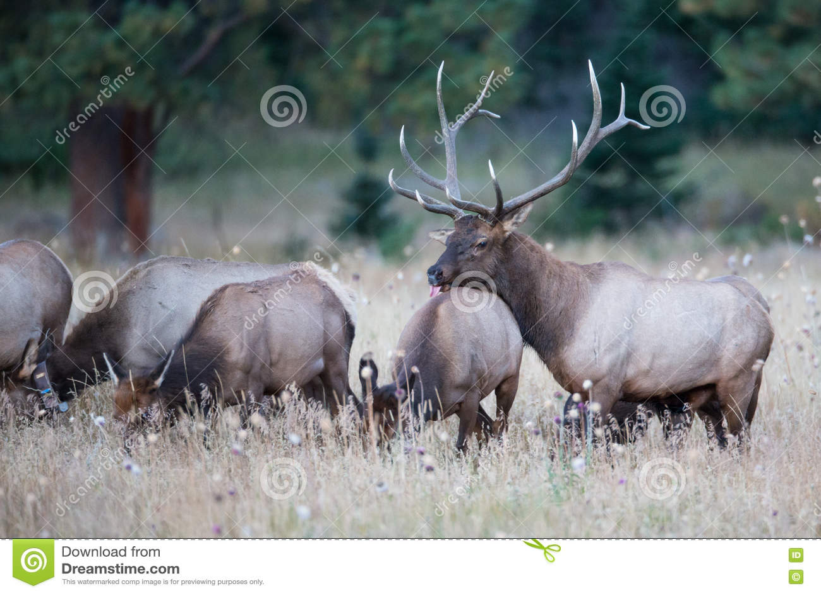 Bull Elk With His Female Herd Stock Image Image Of Fall Animal