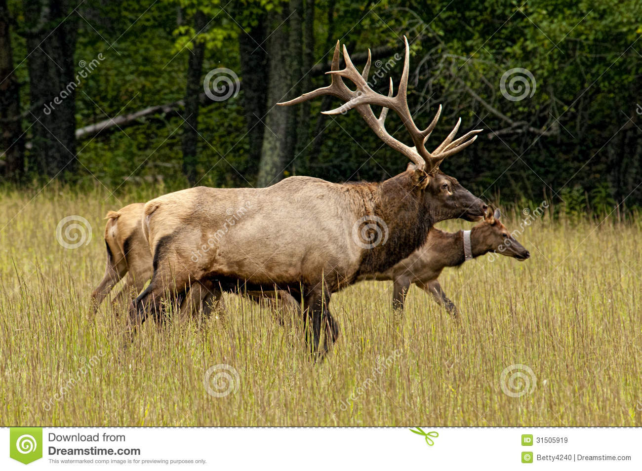A Bull Elk Keeping Track Of His Female Stock Image Image Of