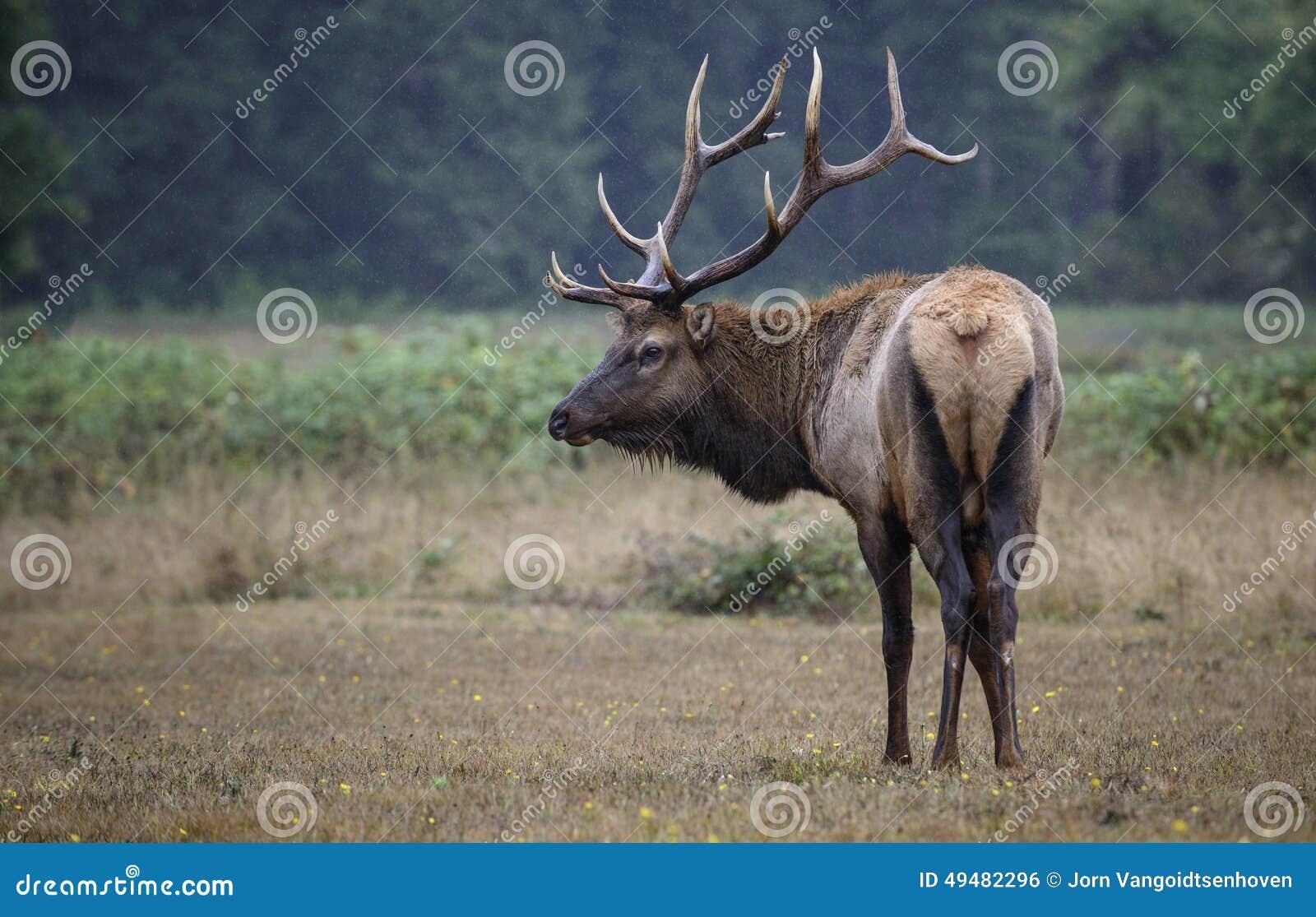 Bull elk pose