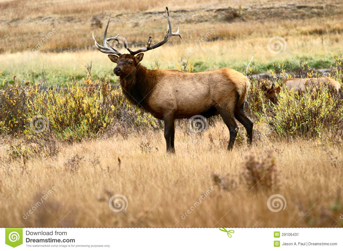 Charging Station Map >> Bull Elk At Rocky Mountain National Park Stock Image