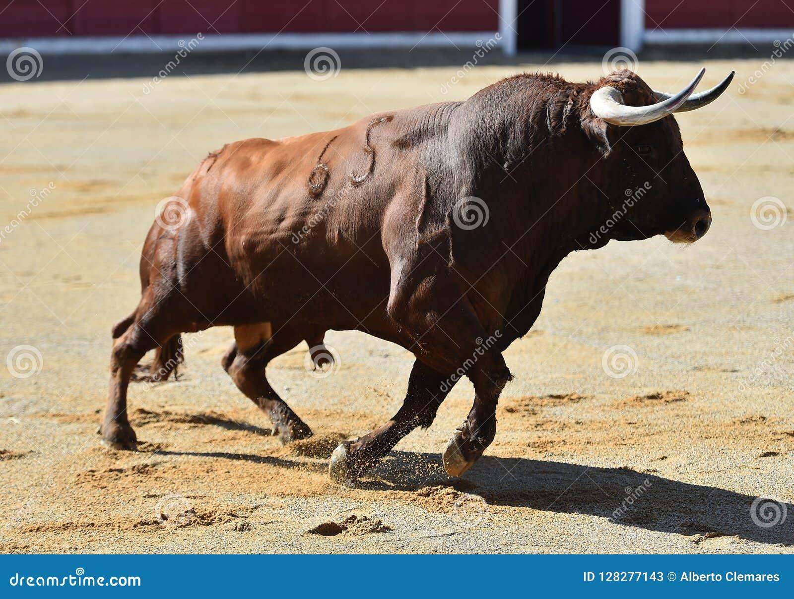Bull en anillo de la tauromaquia
