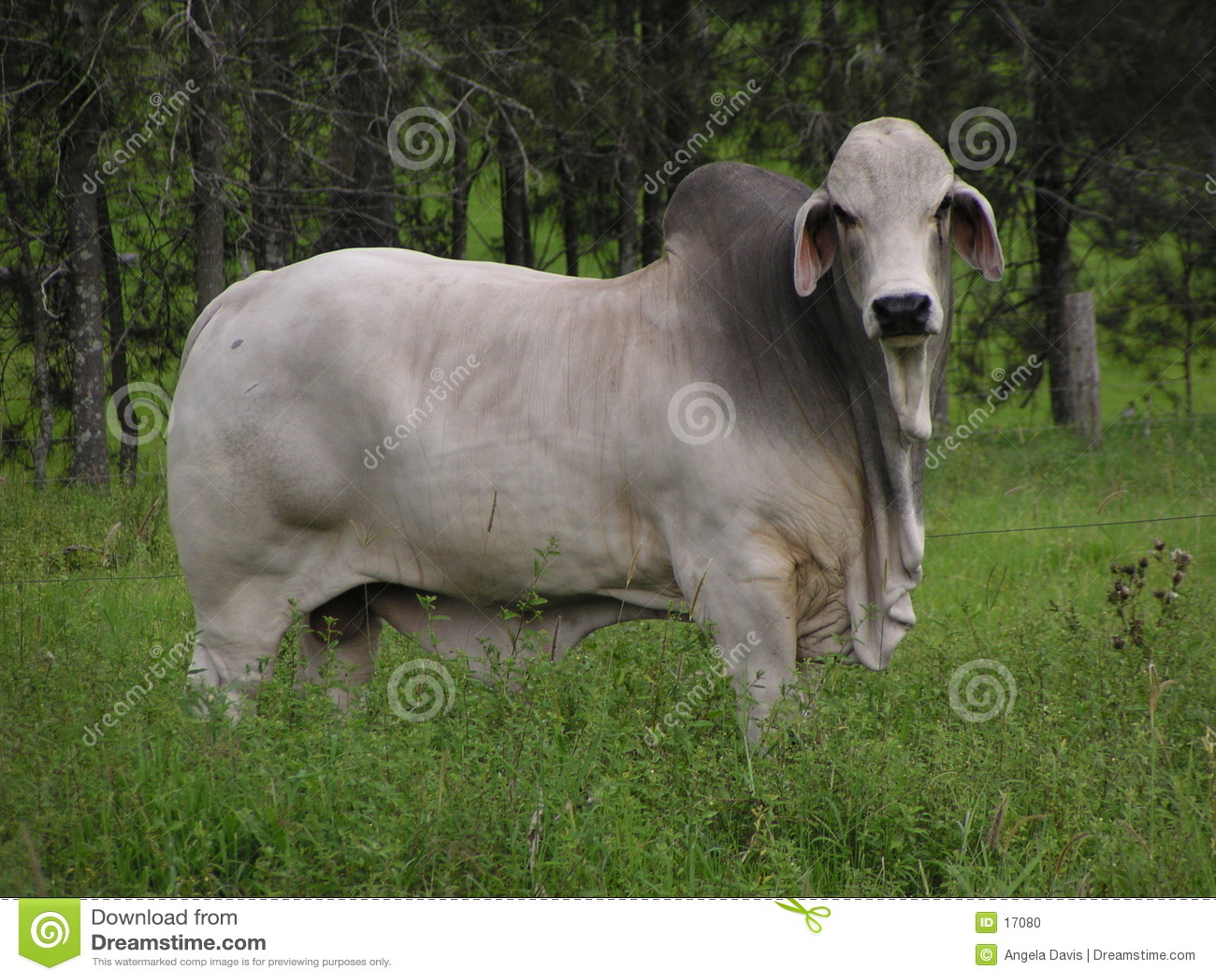 Bull en un campo