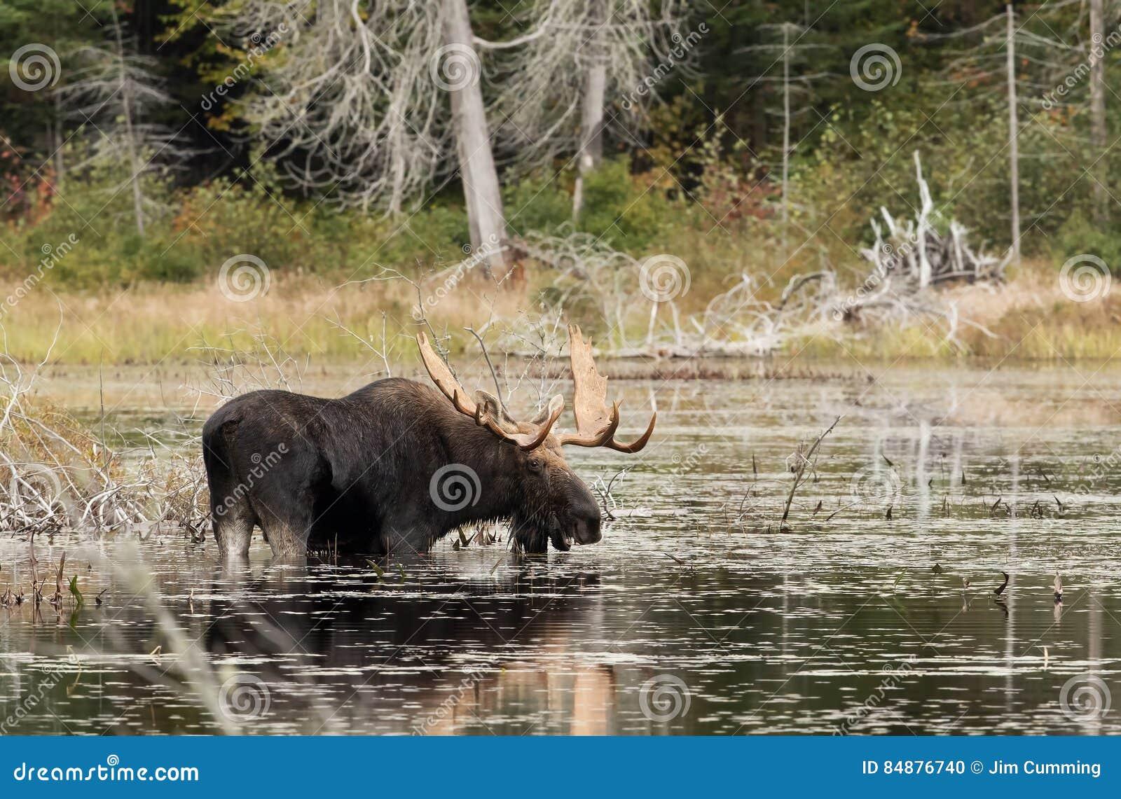 Bull Moose in marsh in Algonquin Park in Canada