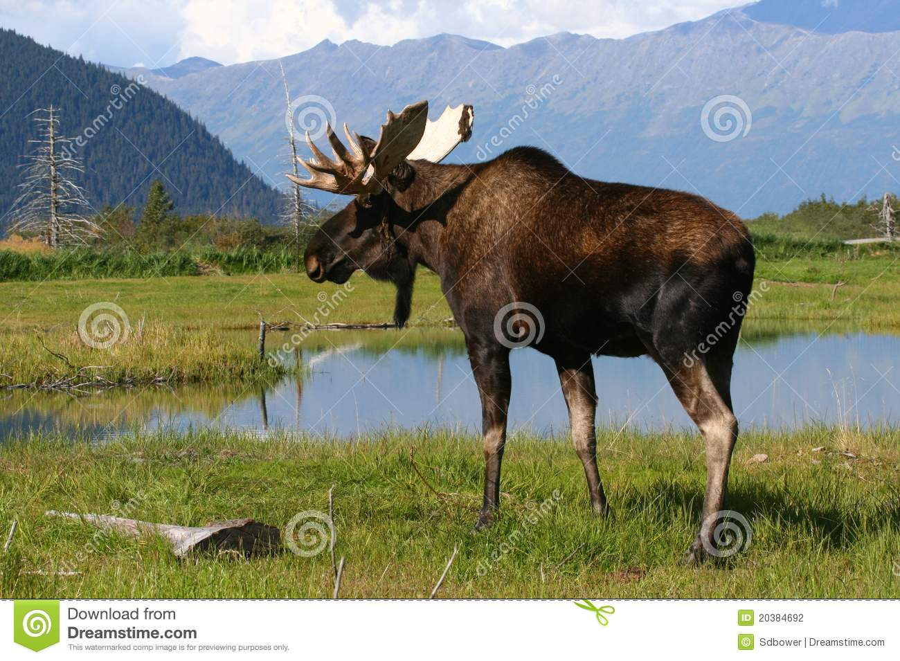 bull moose near an alaskan pond and mountains.