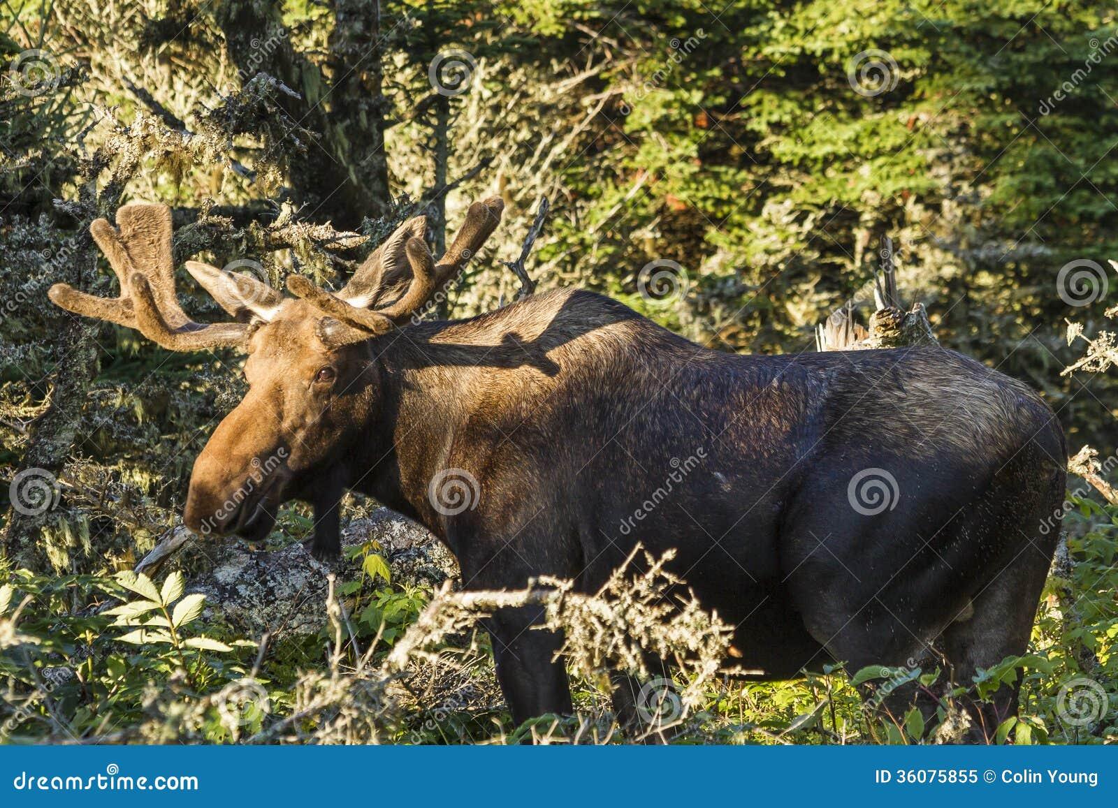 Bull Moose in the Sun