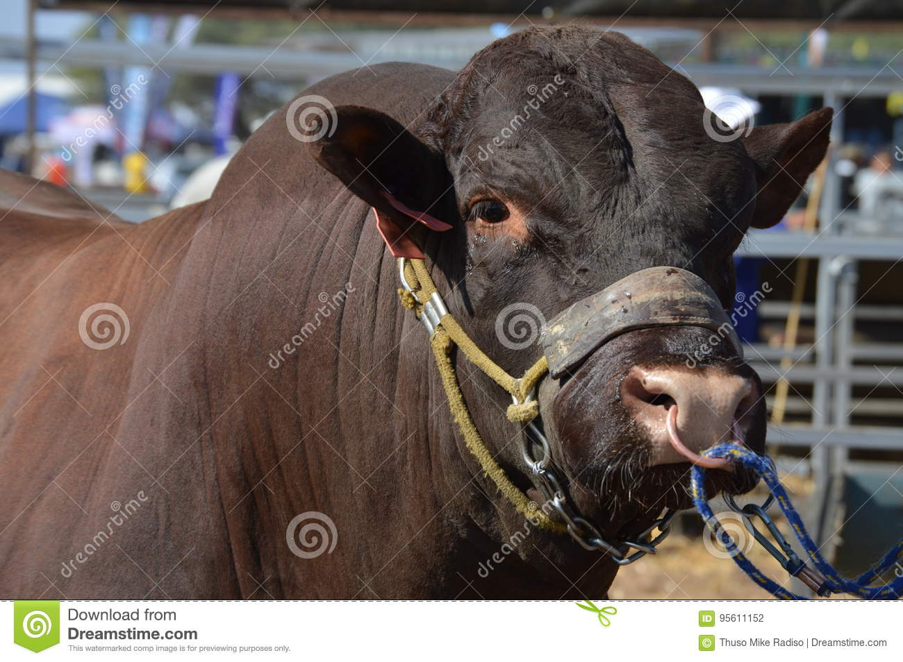 Bull With Nose Ring Stock Photo Image Of Lead Exploitation 95611152