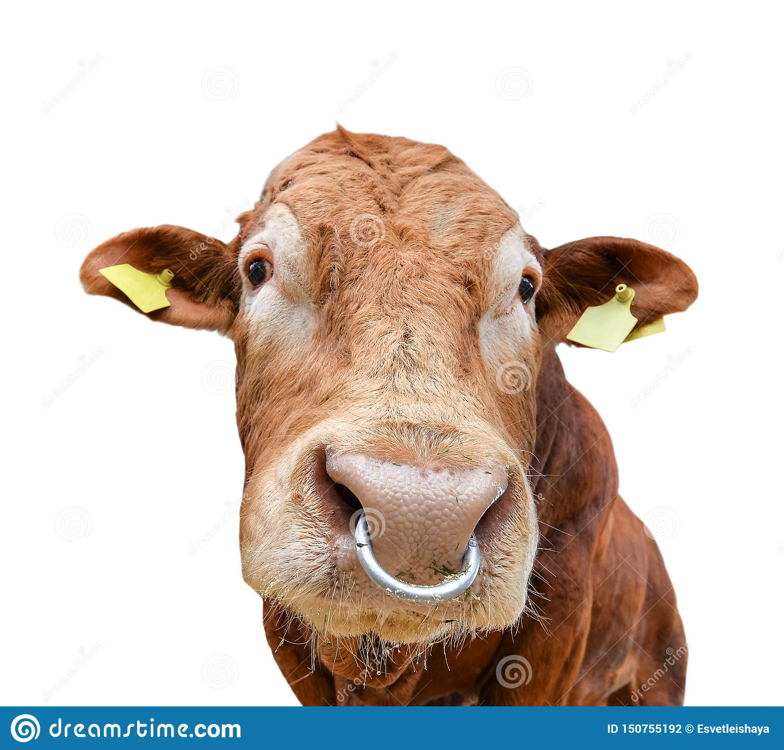 Bull Portrait With Nose Ring Isolated On White Beautiful Big
