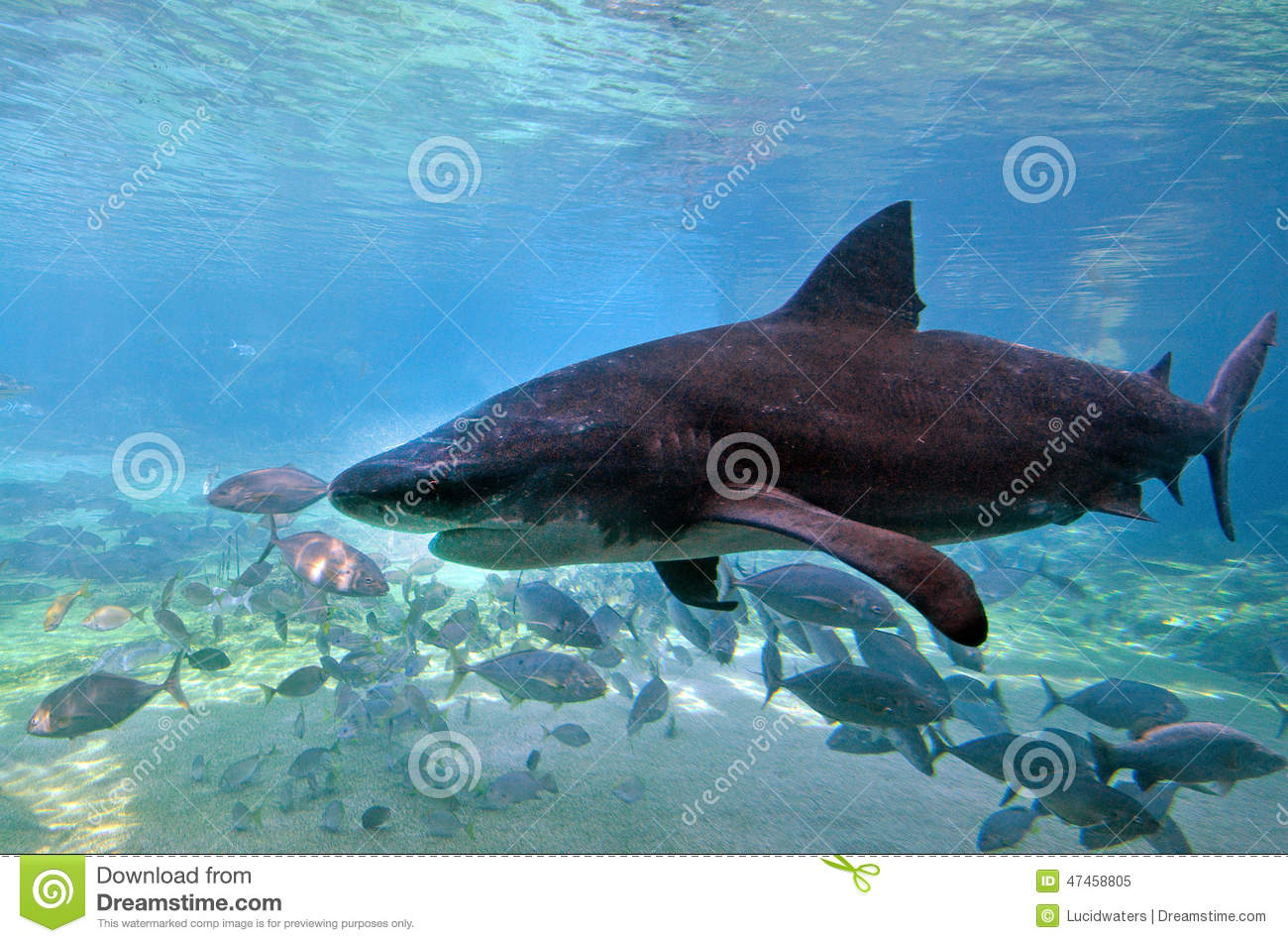 GOLD COAST, AUS - NOV 06 2014:Bull shark in Sea World Gold Coast ...
