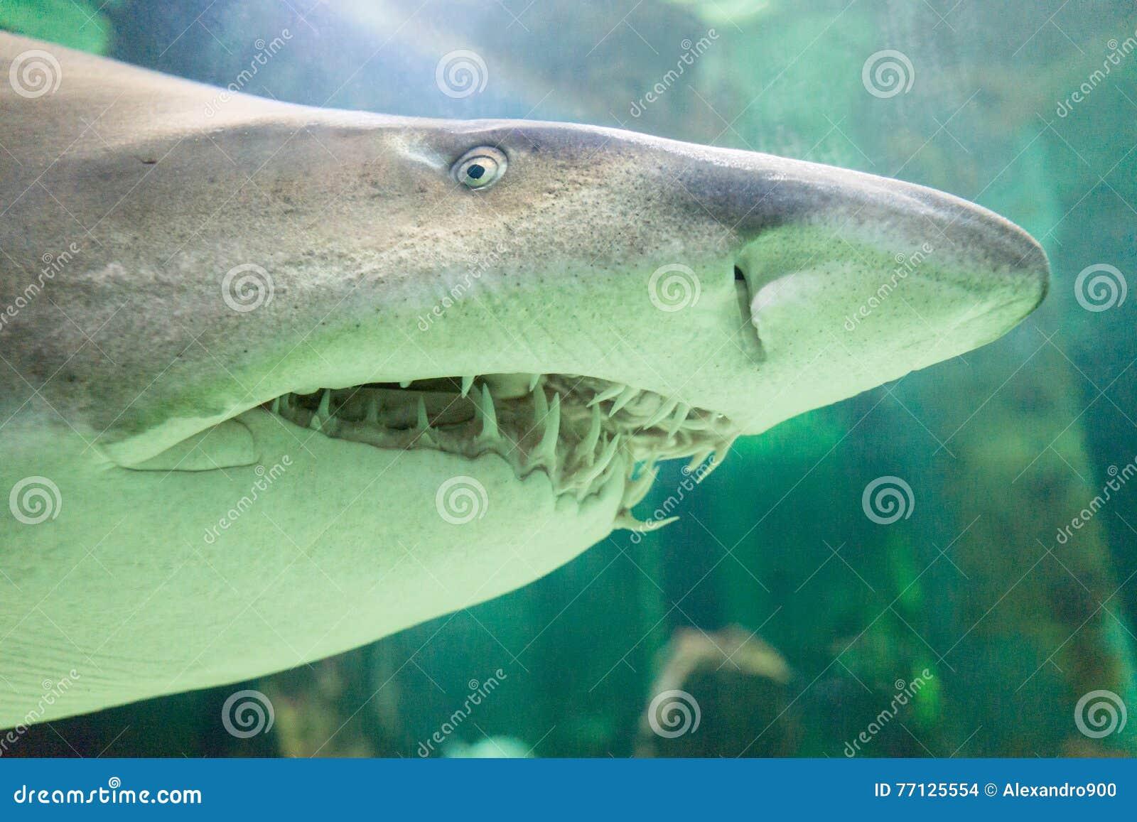 Bull shark stock photo  Image of background, dangerous