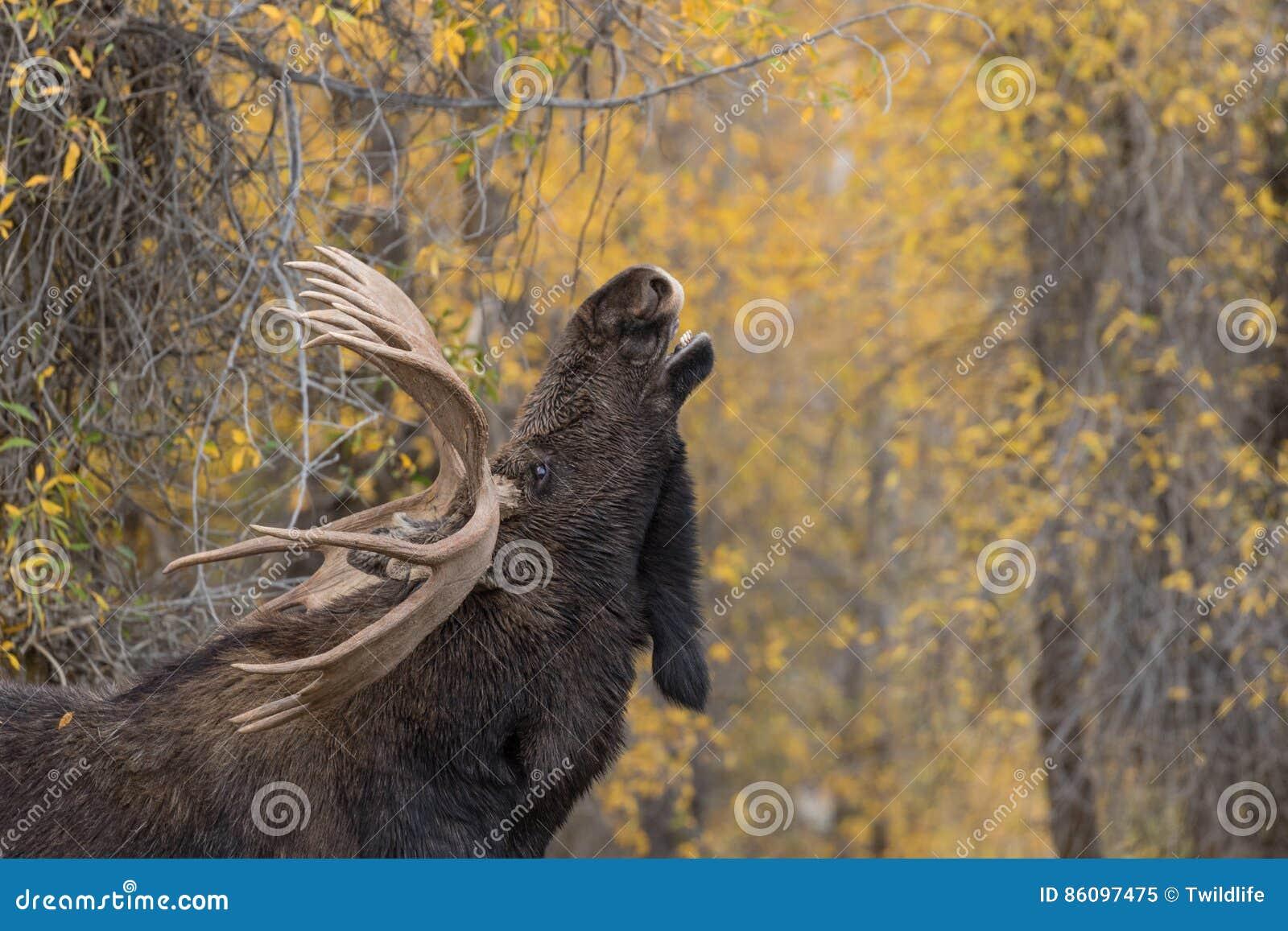 Bull Shiras Moose Rutting