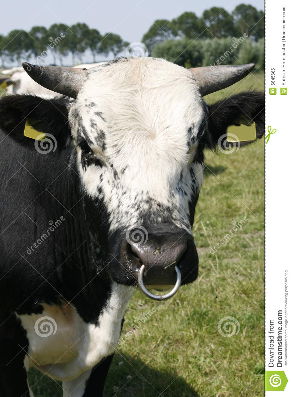 Bull With Snout Ring Royalty Free Stock Photo Image 5645665
