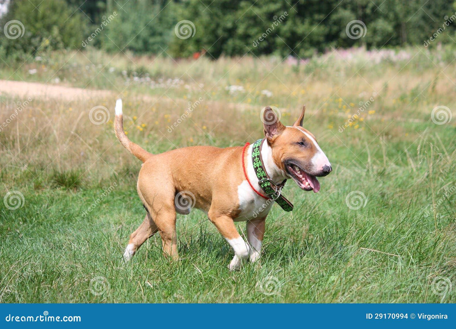 Bull-terrier anglais rouge et blanc marchant à la zone