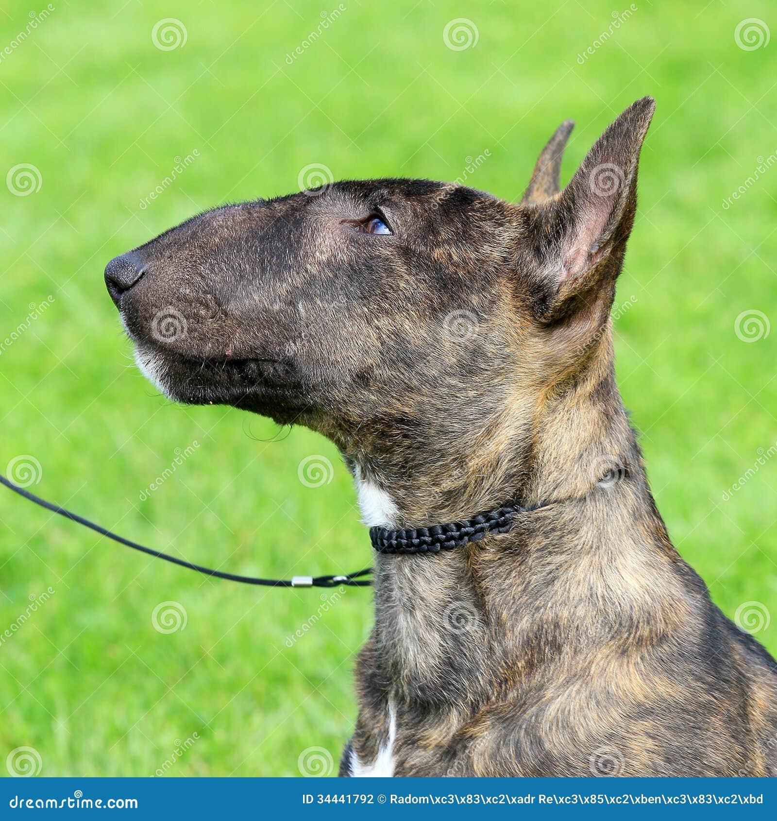 Bull-terrier miniature photo stock. Image du crabot