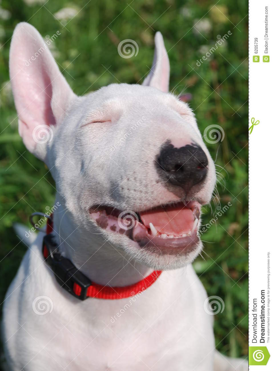 Bull Terrier Puppy Royalty Free Stock Images - Image: 6205739