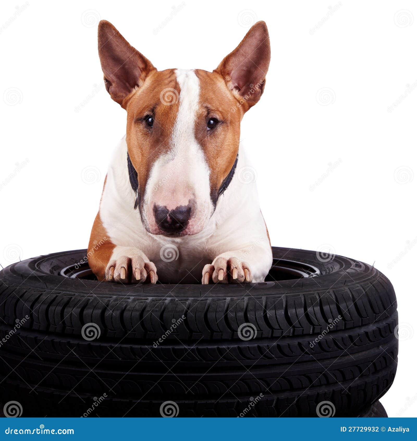 Bull-Terrier und Räder