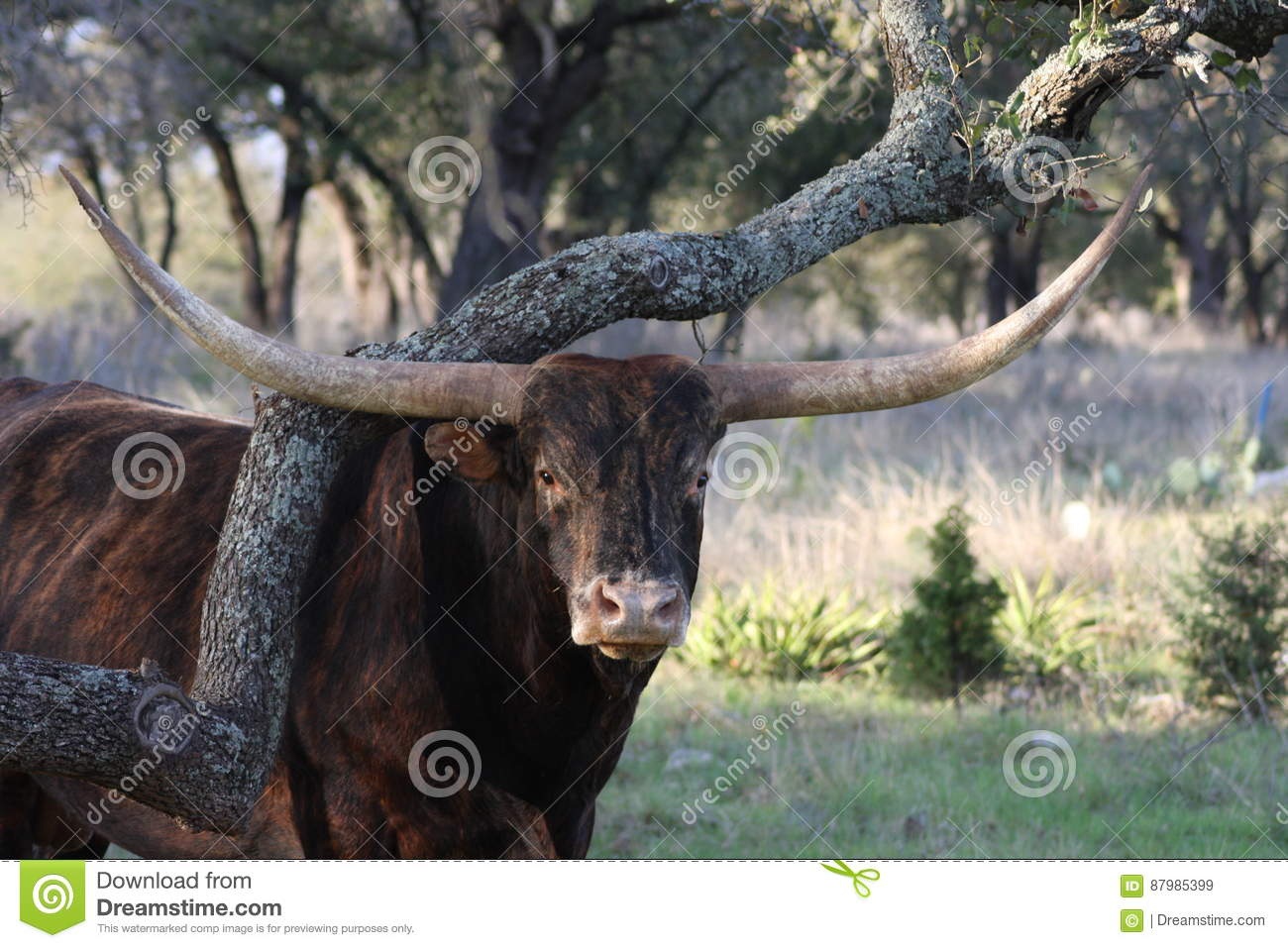Bull Stock Image Image Of Green Country Limb Bull