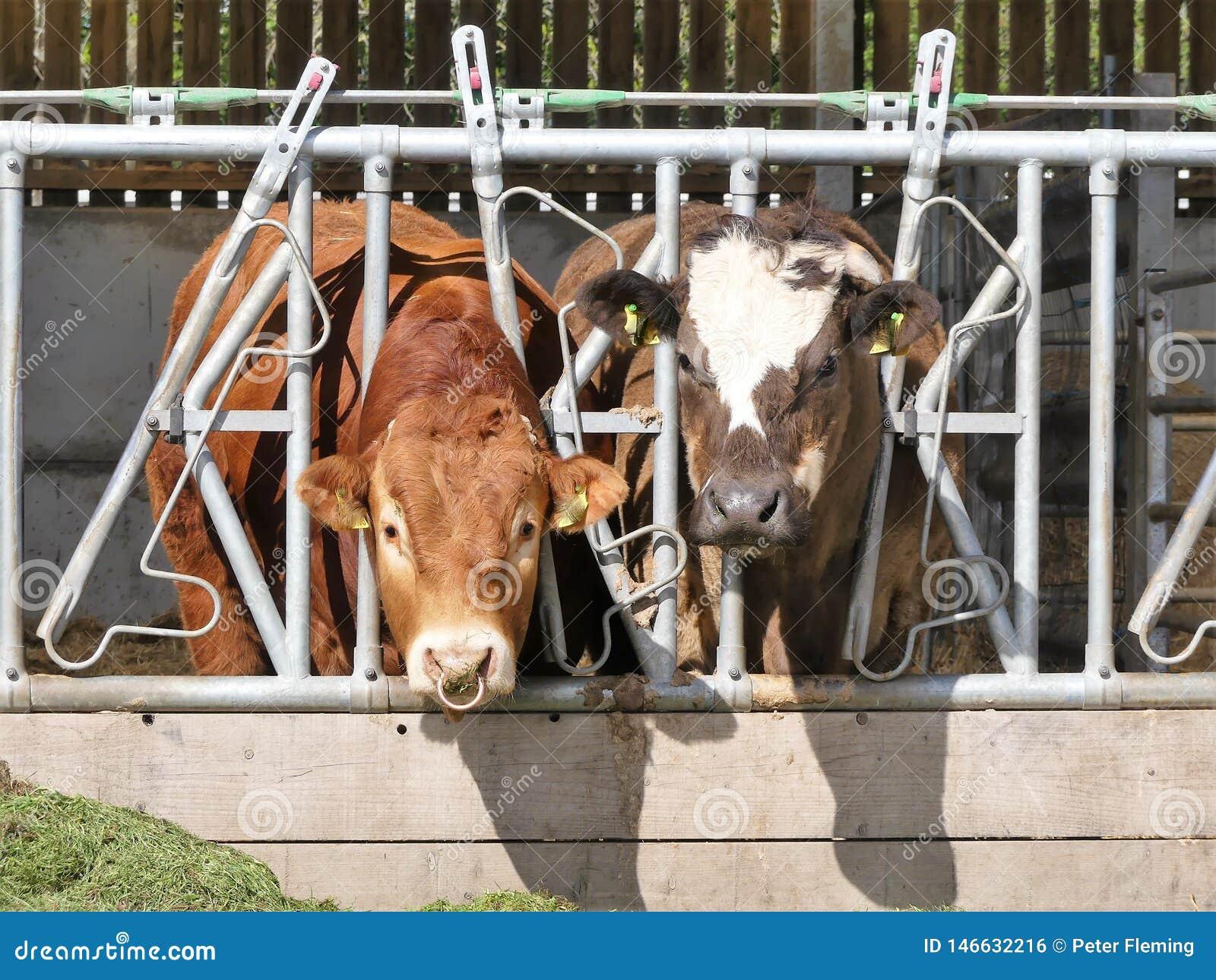 Bull y vaca que comen la hierba a través de la cerca de la pluma