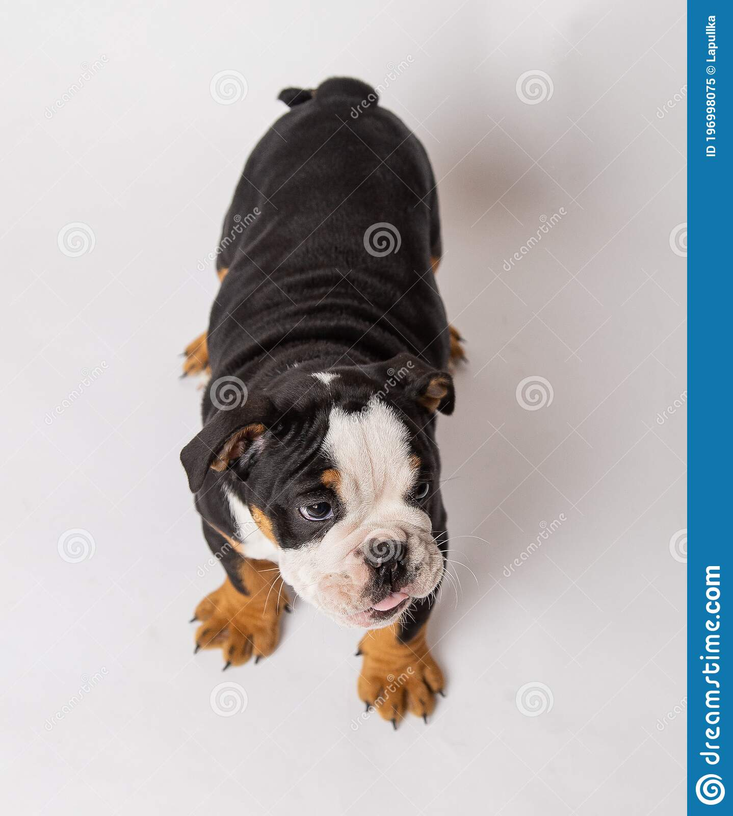 English Bulldog Puppy Black And White Front In Studio Stock Image Image Of Kennel Hefty 196998075