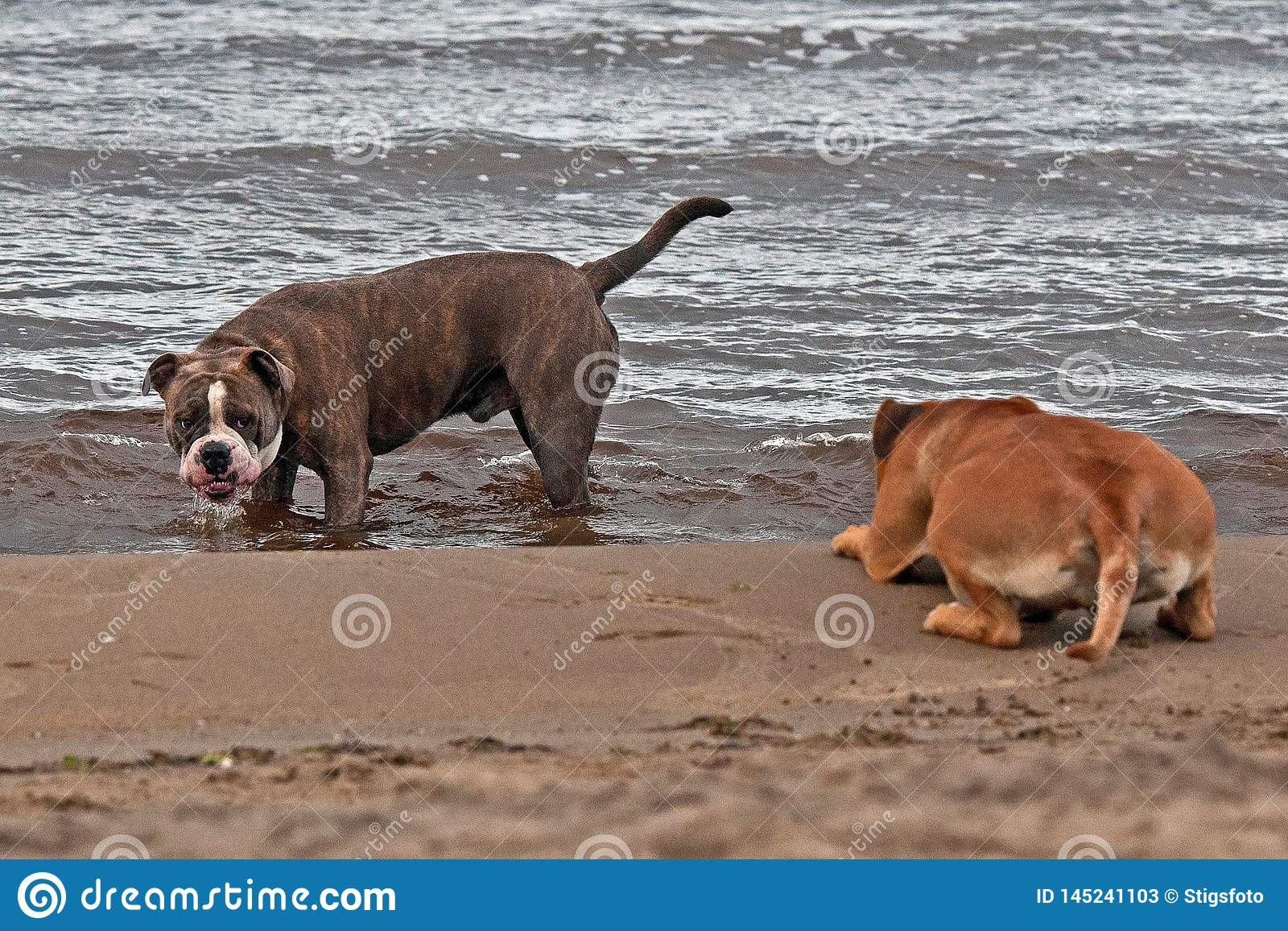Bulldog and American staffordshire terrier play on beach