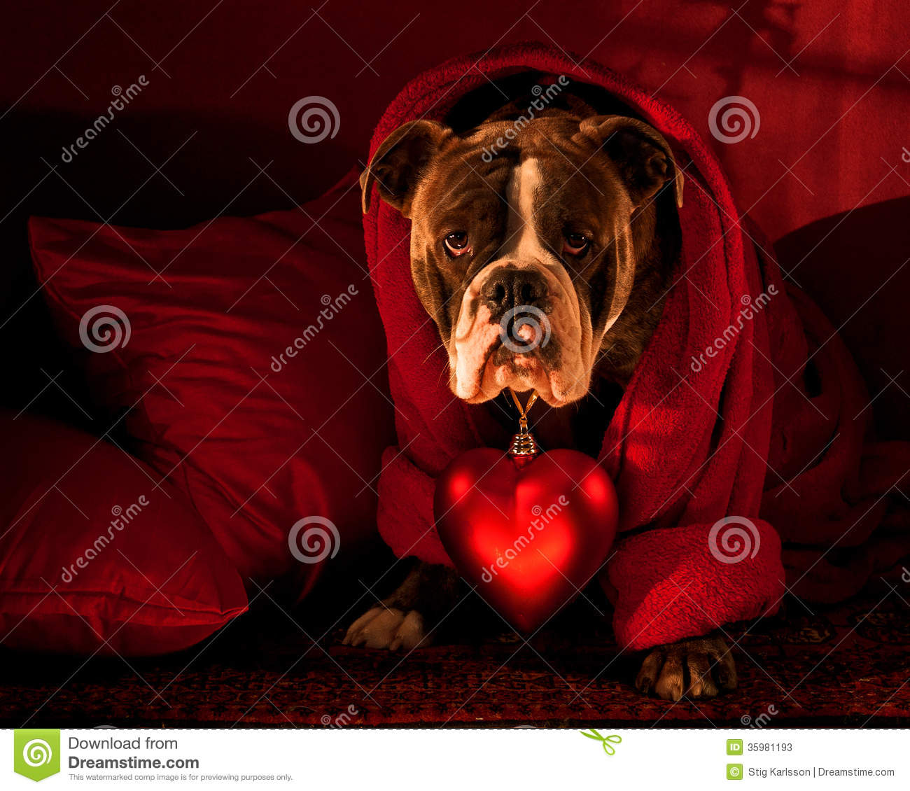 Bulldog With A Big Red Heart On Valentine Stock Image