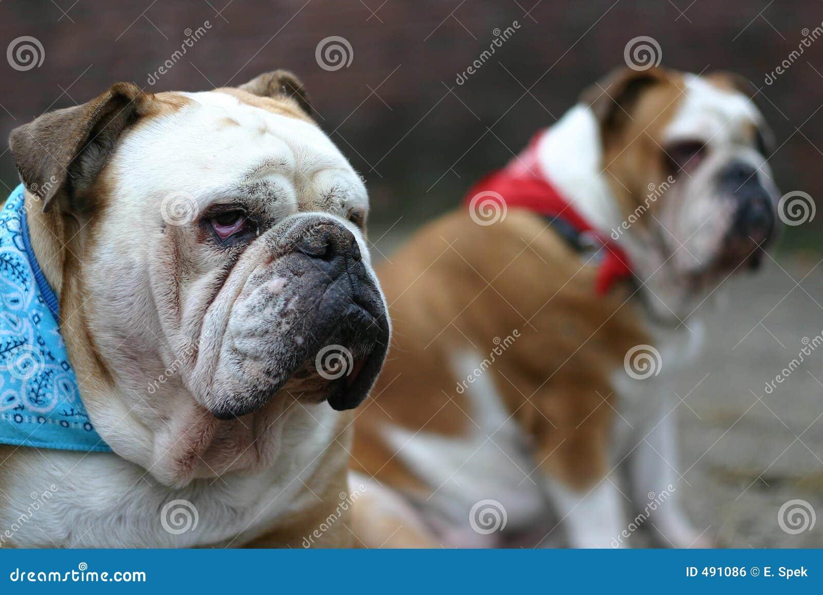 Bulldog britannici