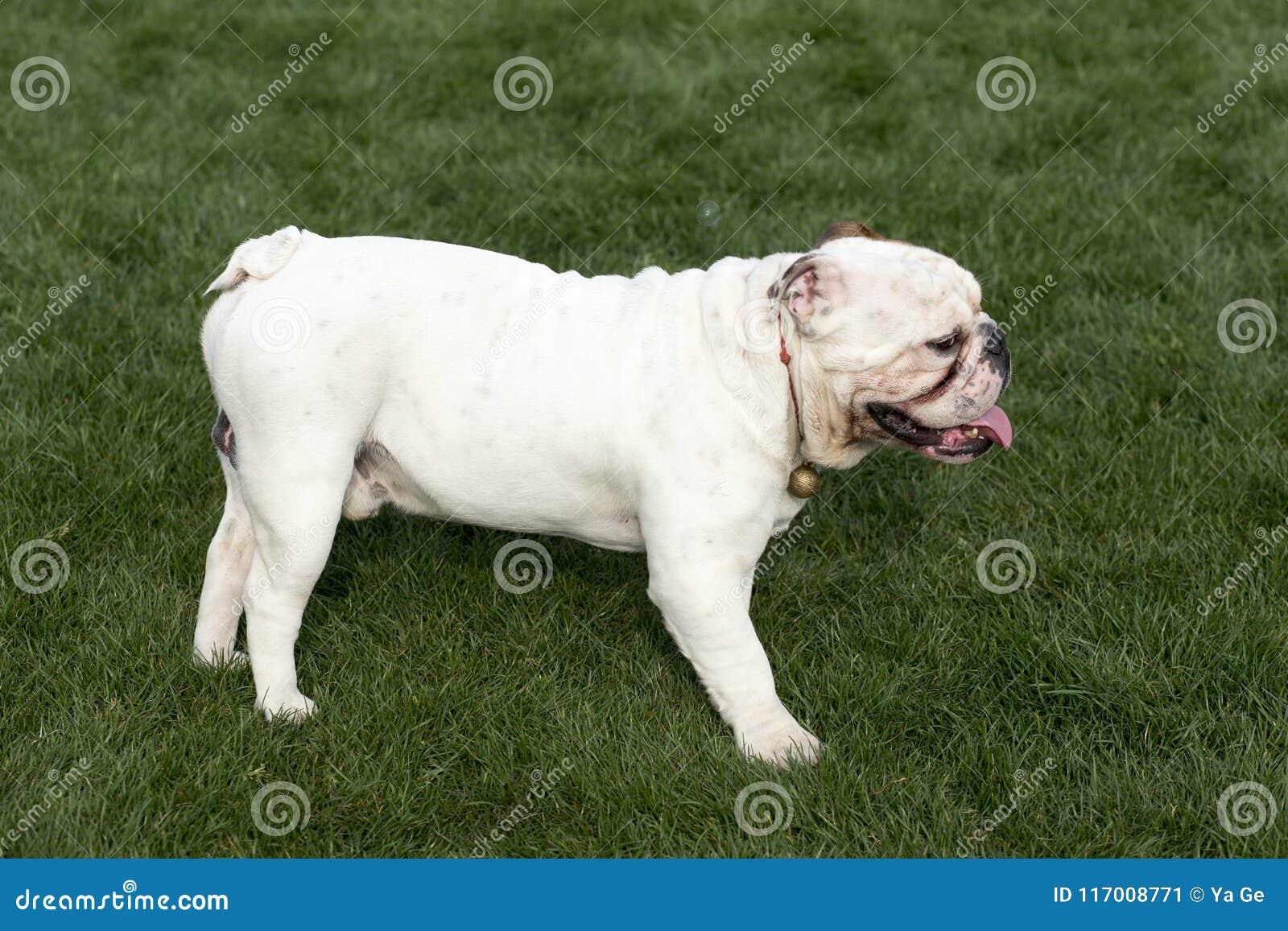 Bulldog britannico