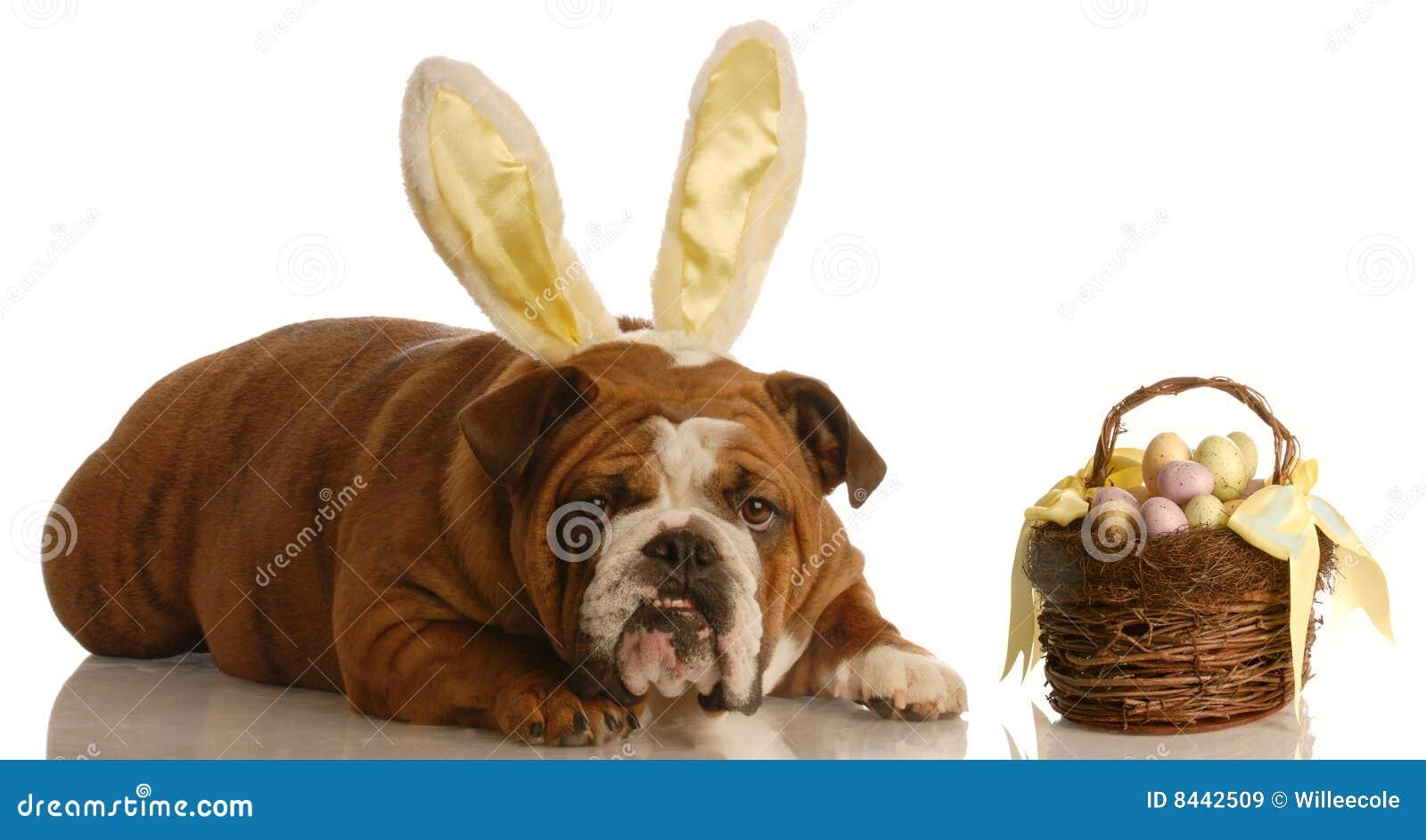 Bulldog dressed as easter bunny