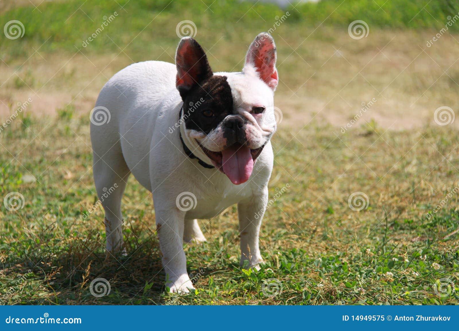 Bulldog Francese Immagine Stock Immagine Di Bulldog 14949575