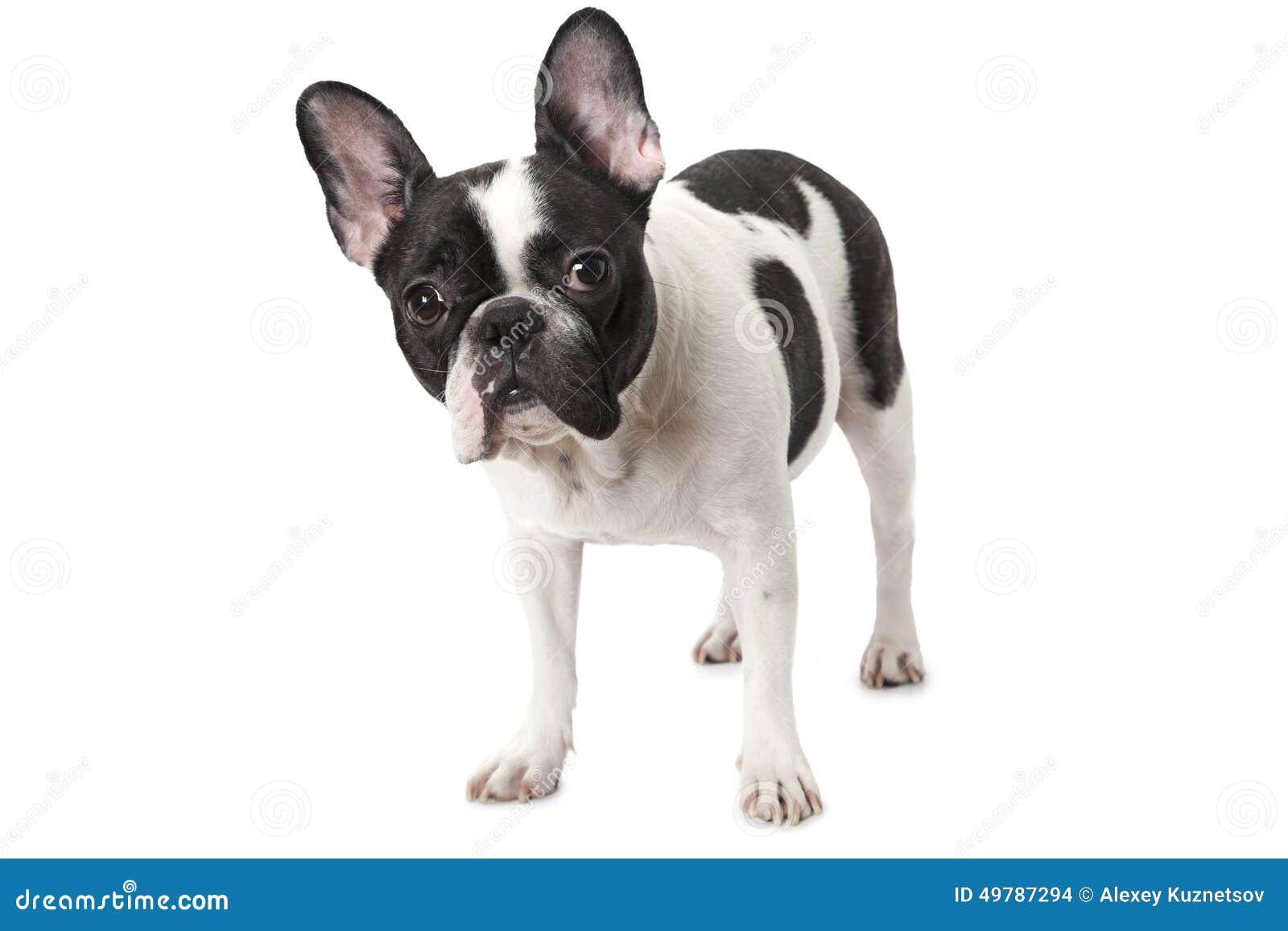 bulldog francese bianco e nero fotografia stock immagine