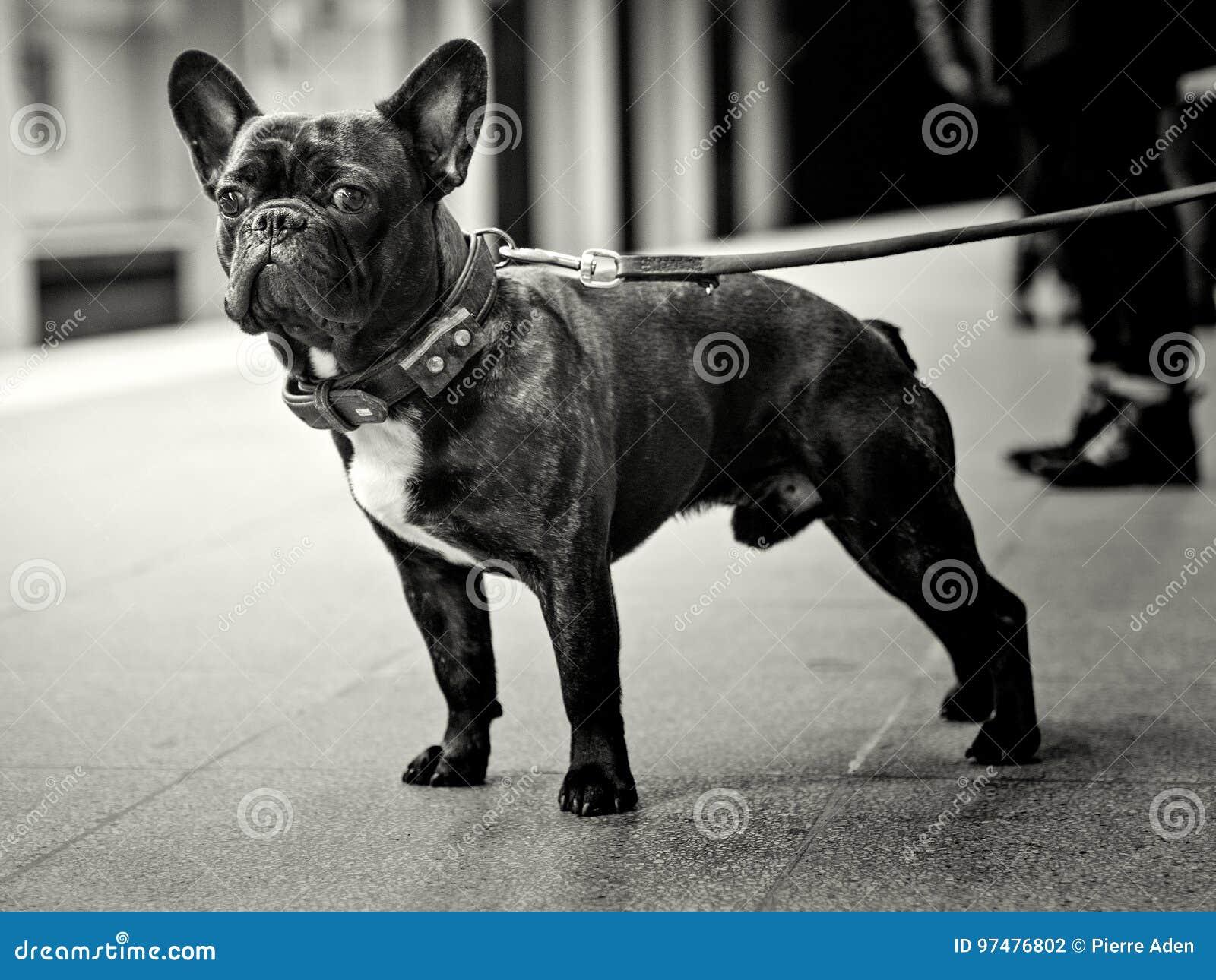 Bulldog francese in bianco e nero