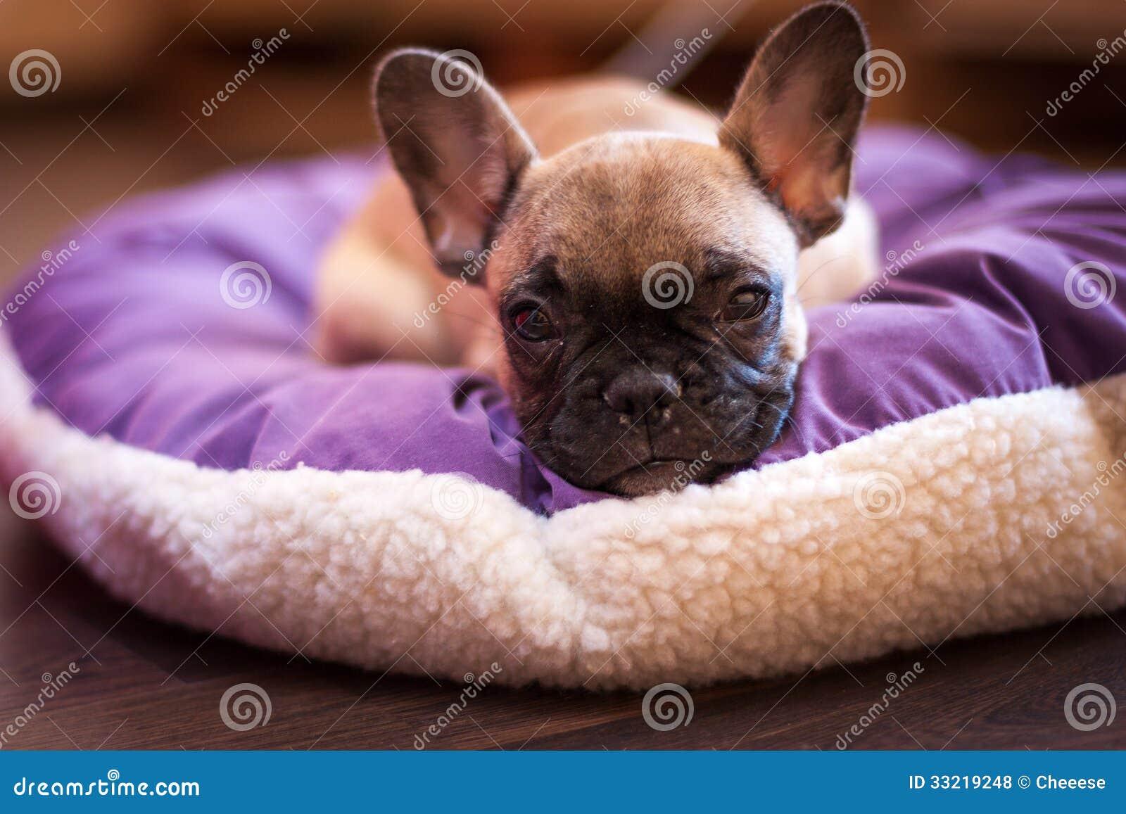 Bulldog francese di piccolo sonno fotografie stock libere for Piccolo in francese