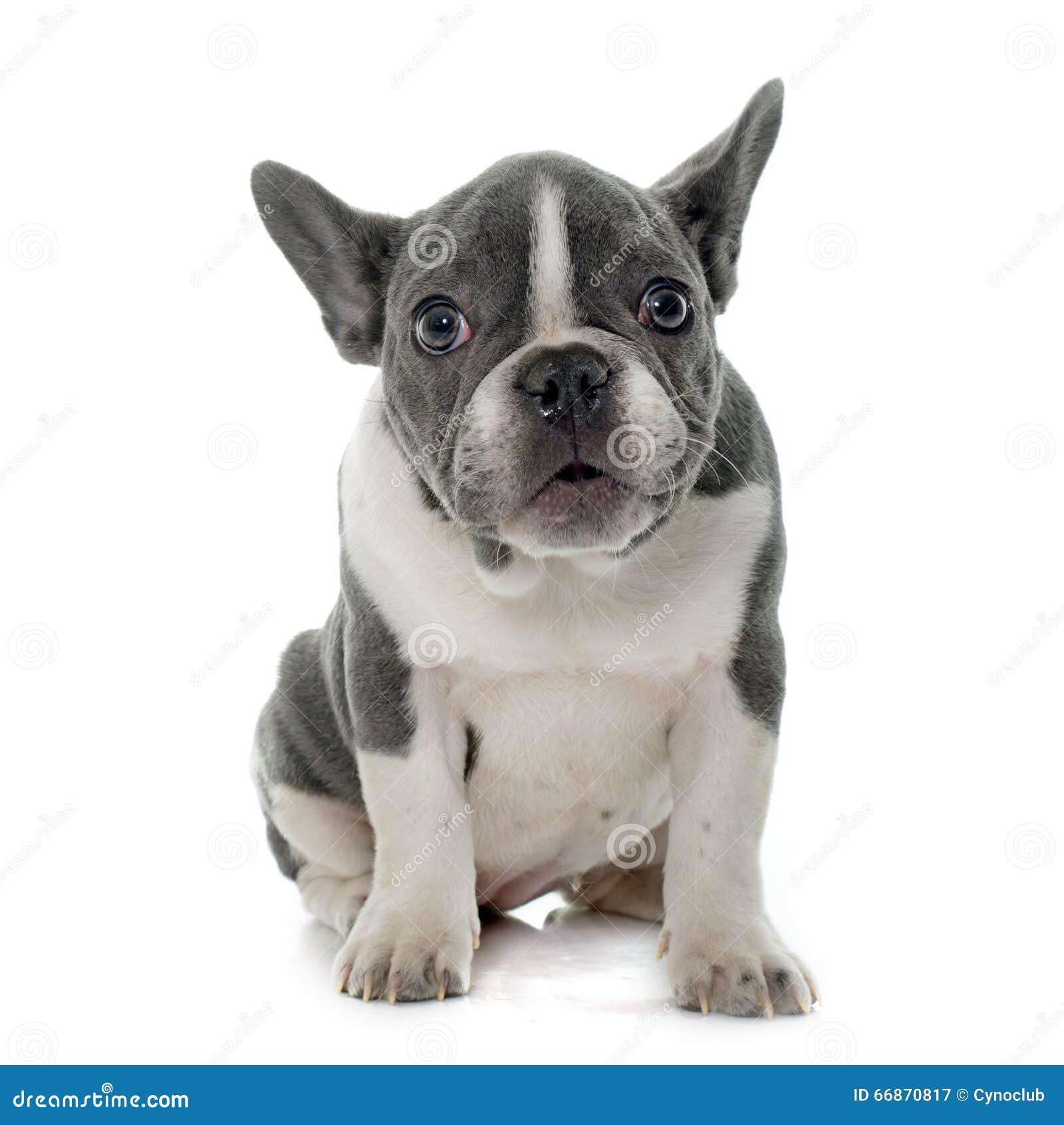 Bulldog Francese Grigio Immagine Stock Immagine Di Purebred 66870817