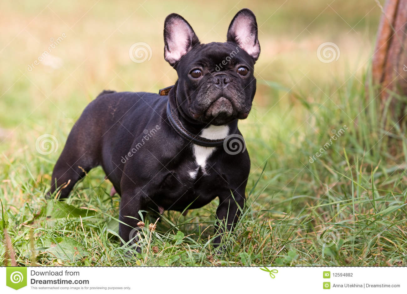 Bulldog Francese Nero Fotografia Stock Immagine Di Animale 12594882