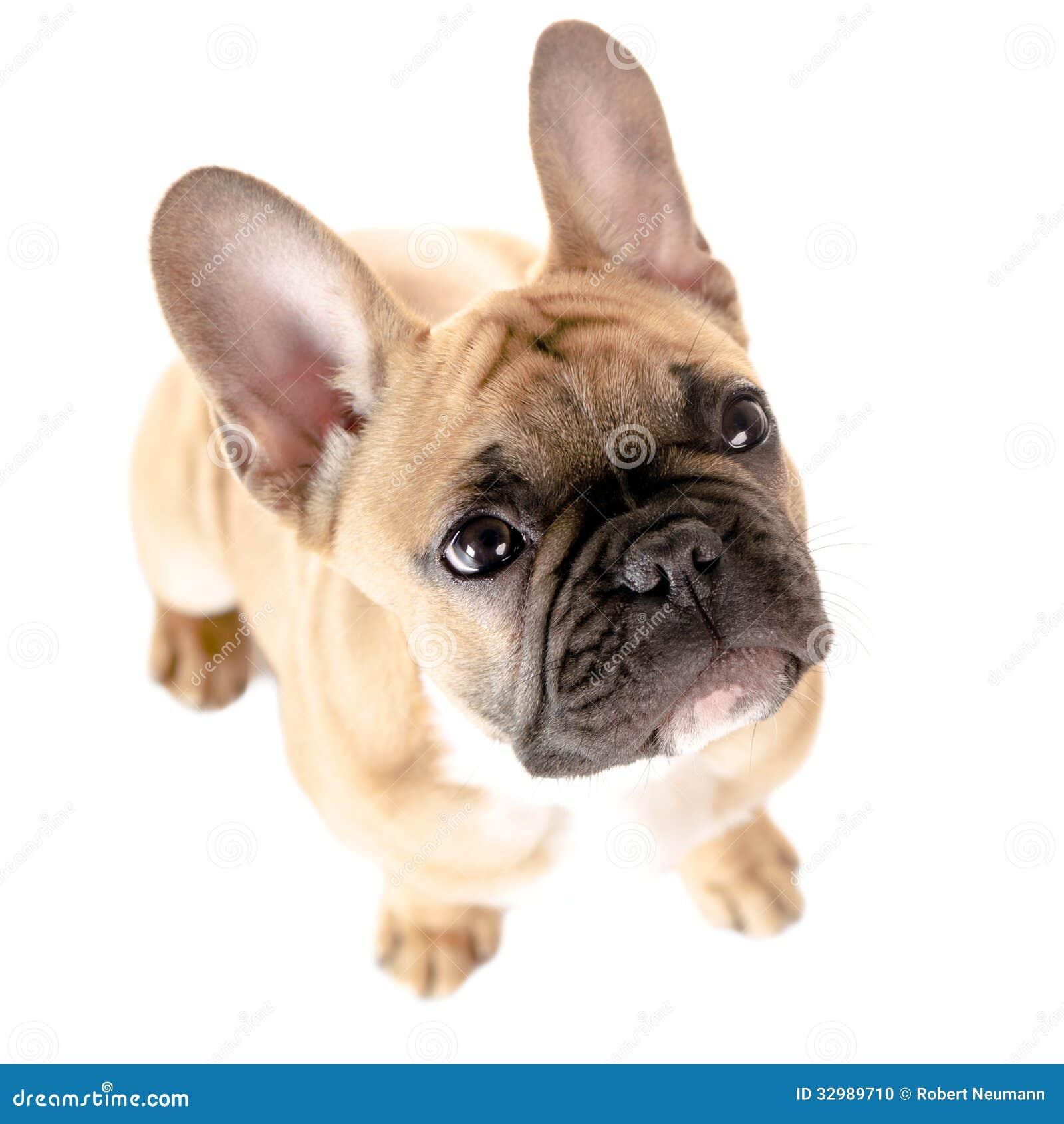 bulldog francese bianco