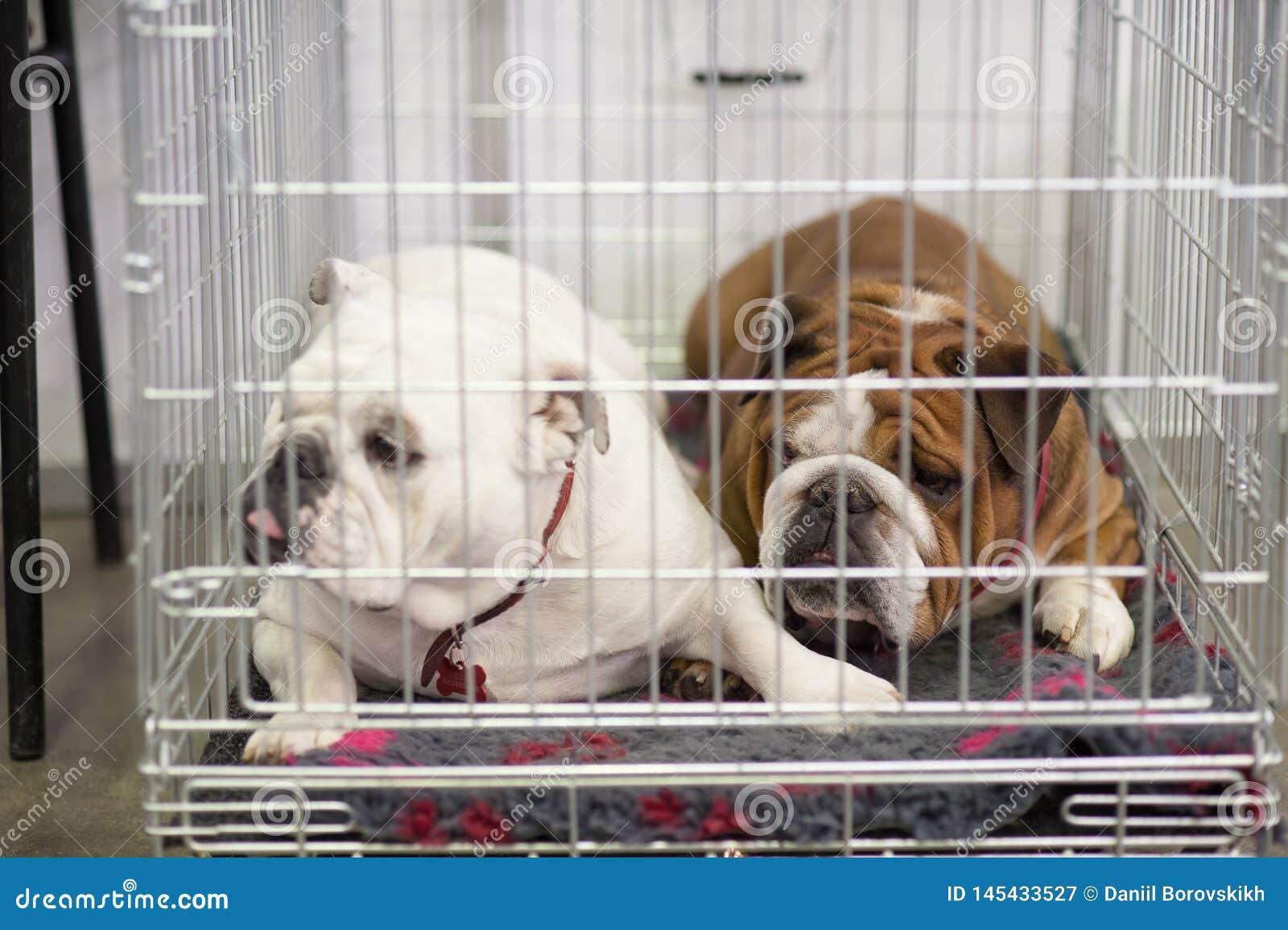 Bulldog francesi nella gabbia