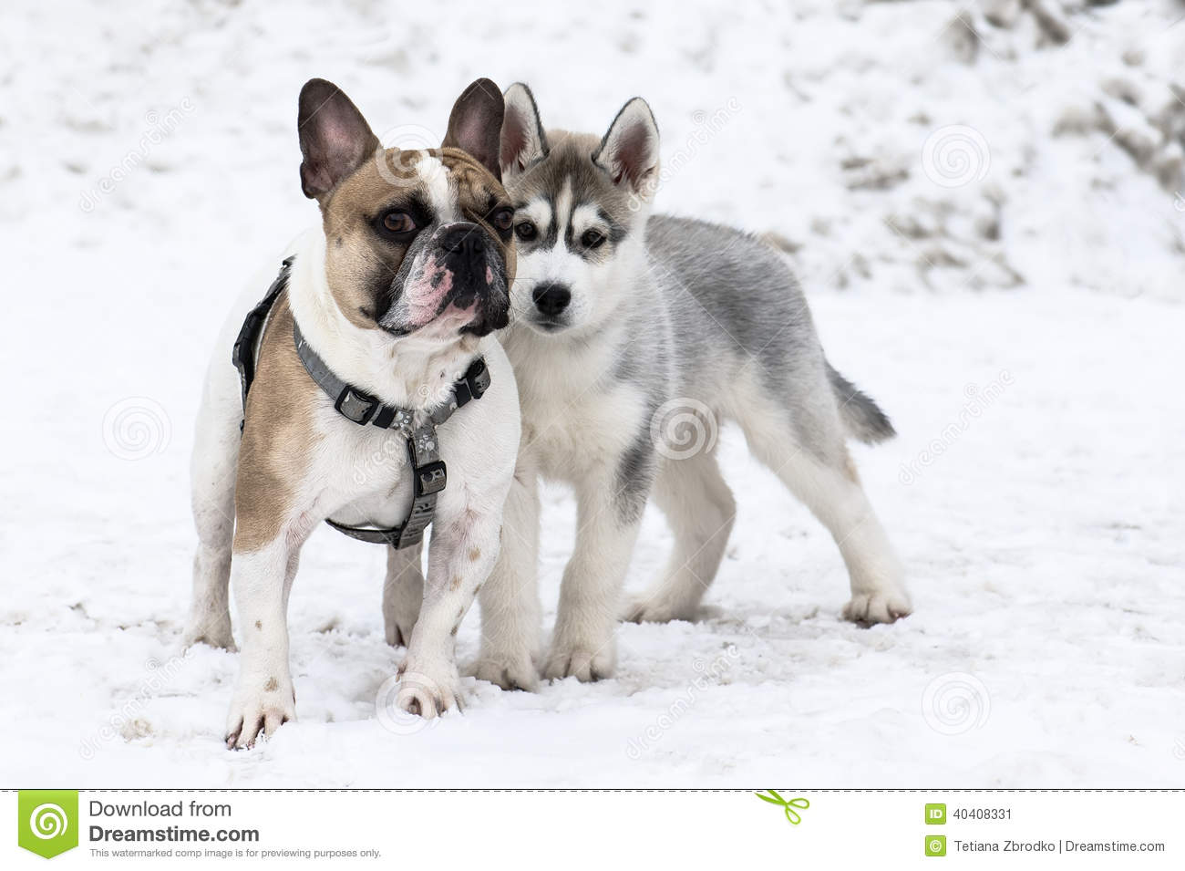 Bulldog And Husky Stock Photo - Image: 40408331