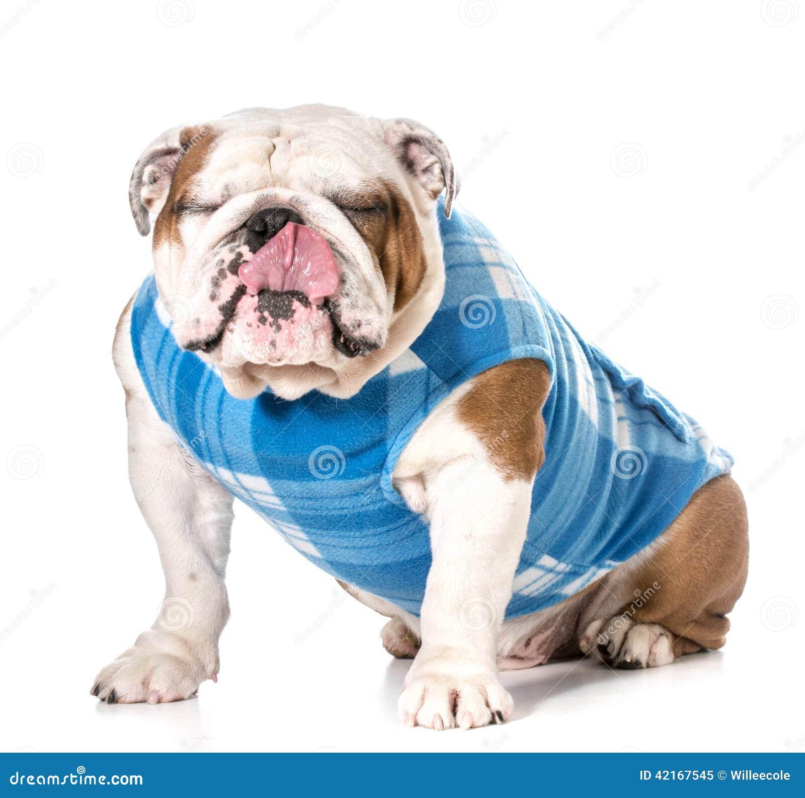 Immagine 42167545 Linguetta Di Stock Inglese Bulldog 05XqwfUx