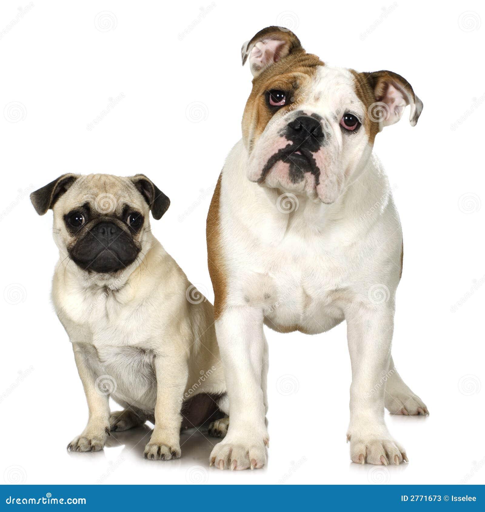 Bulldog inglese e un pug