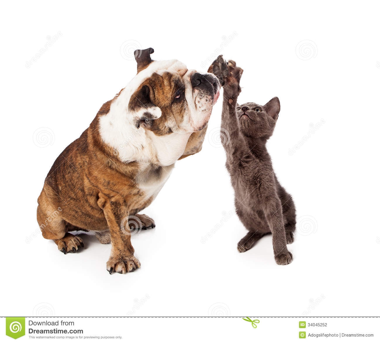 large Bulldog and a little gray kittn raising their paws to give a ...