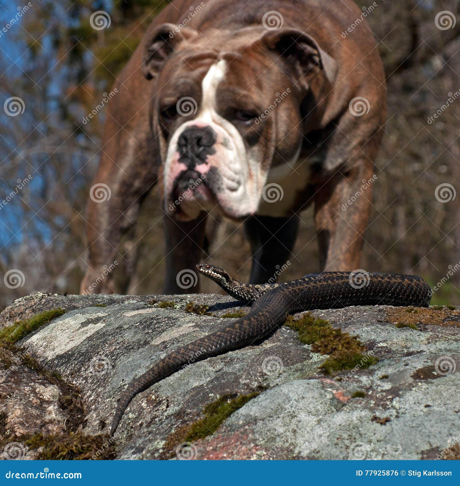 Bulldog meets a Vipera berus