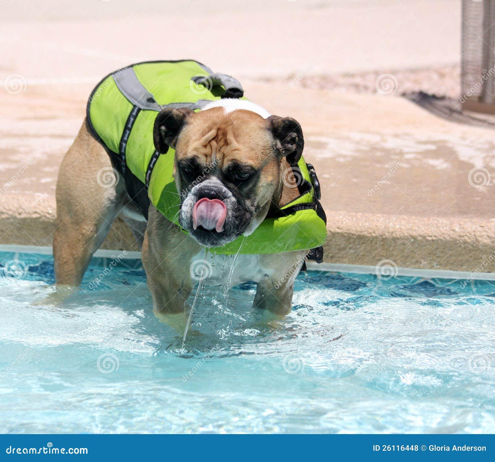 bulldog in the pool in a swim vest stock photo image of saving