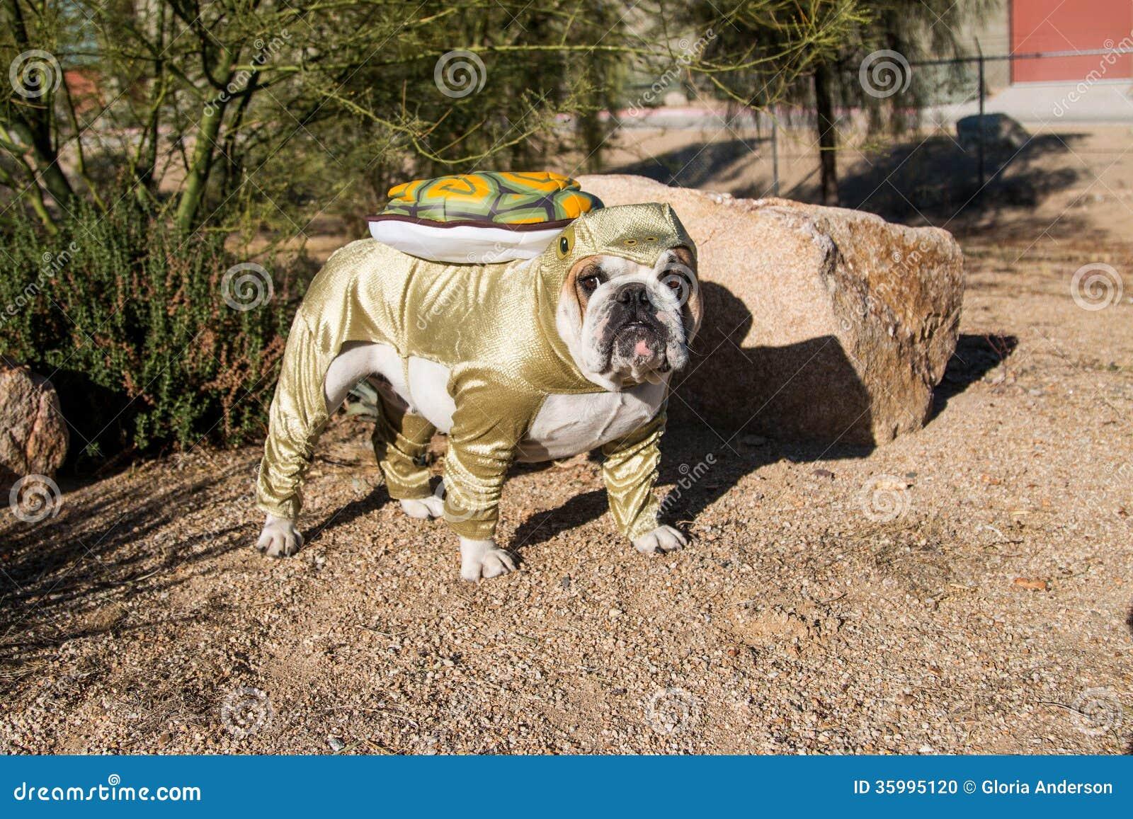 Bulldog posed as a desert tortoise by a rock