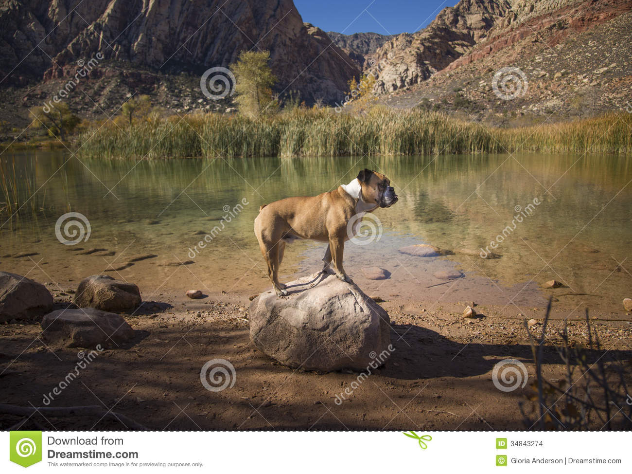 Bulldog posed on a rock by the water