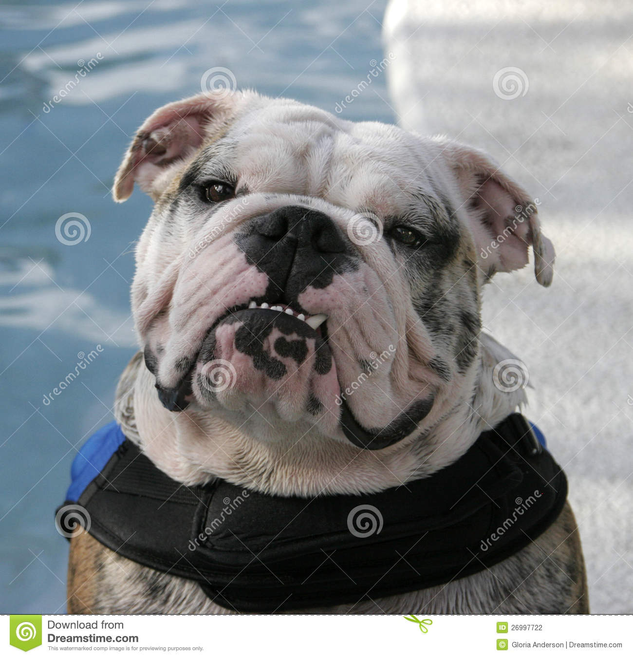 bulldog life vest bulldog posing by the pool in his life vest stock 1456